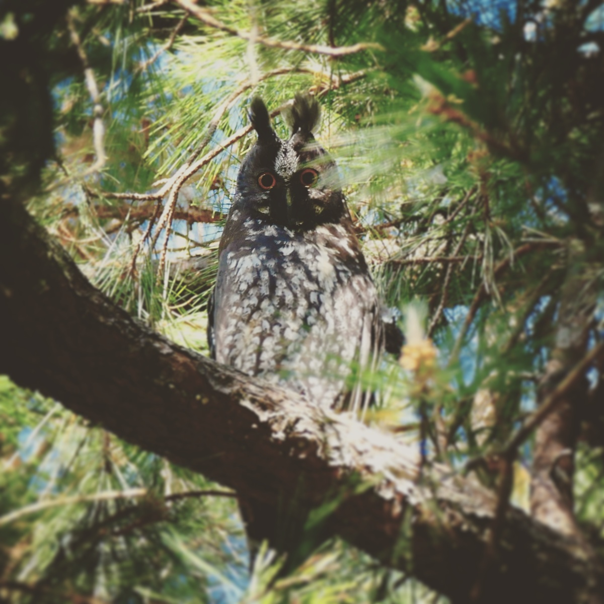 A Stygian Owl peers down from its day roost in the Tufted Jay Preserve. Noah Strycker