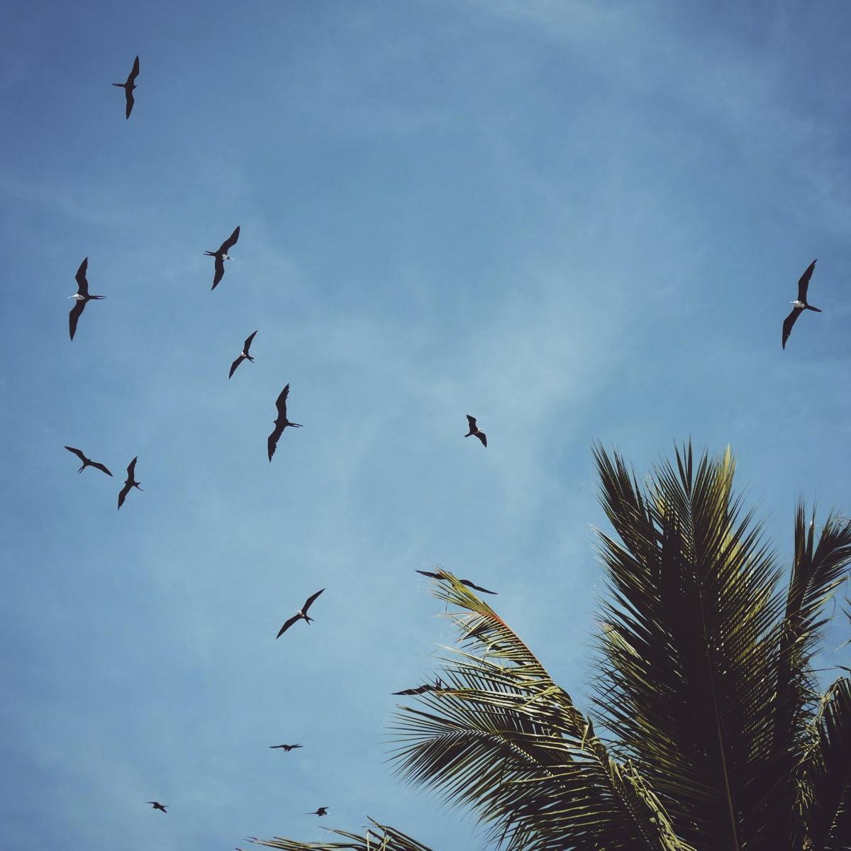 Magnificent Frigatebirds circle above a palm tree in San Blas. Noah Strycker