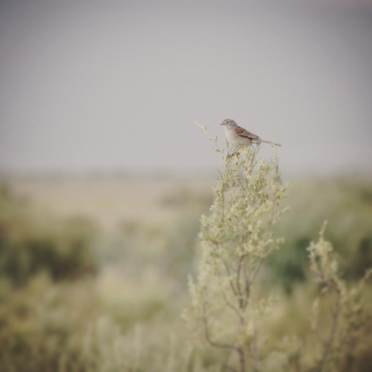 Noah's view of the Worthen's Sparrow. Noah Strycker