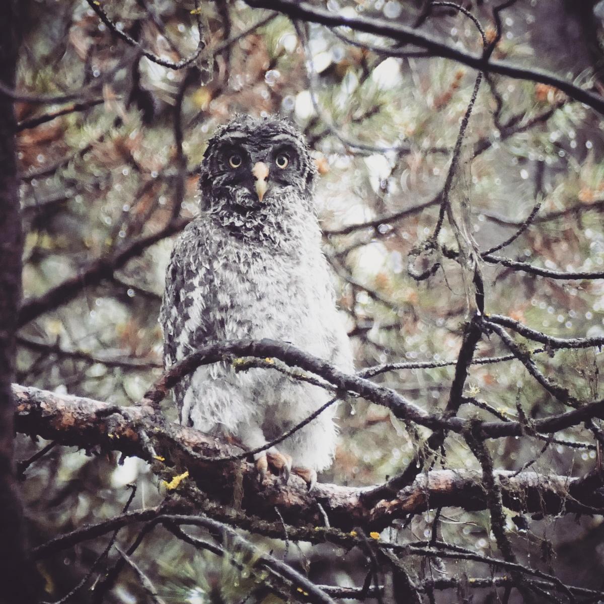 Noah's view of a waterlogged, adolescent Great Gray Owl. Noah Strycker