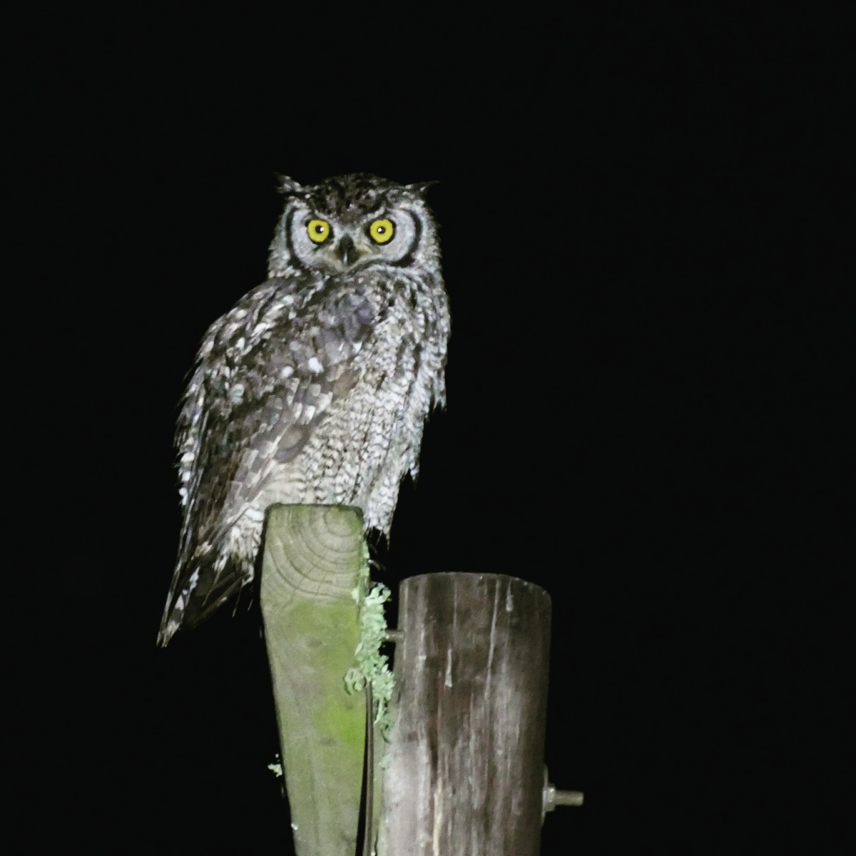Noah's view of a Spotted Eagle-Owl before dawn. Noah Strycker
