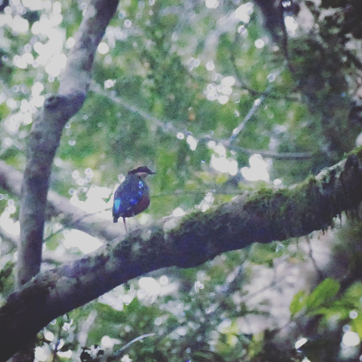 Green-breasted Pitta at Kibale National Park. Noah Strycker