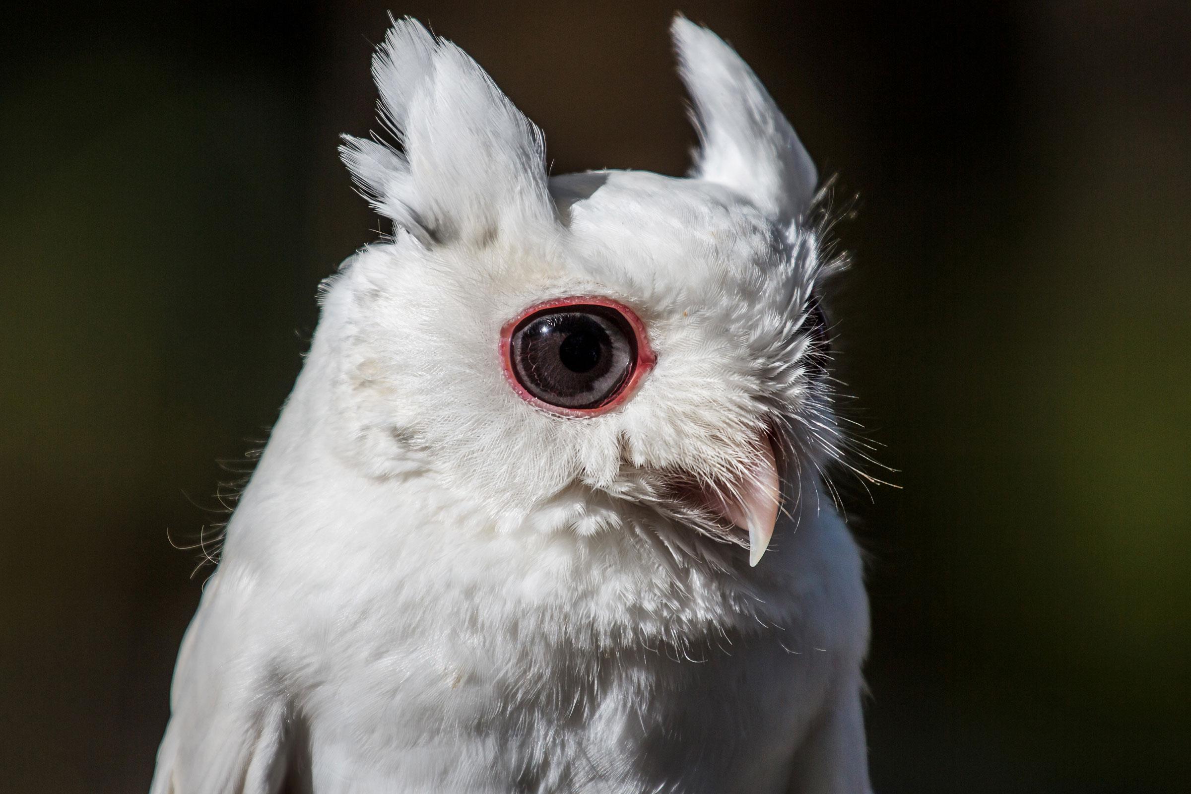 Tecolote oriental albino.