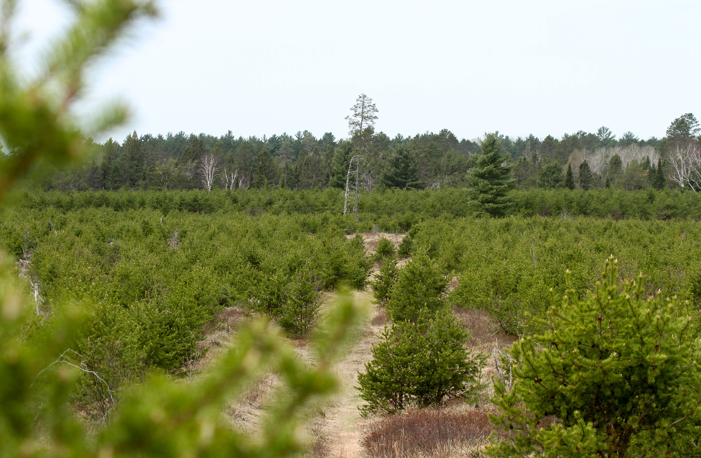 One of the new nesting forests for Kirtland's Warblers in northern Wisconsin. Nick Anich