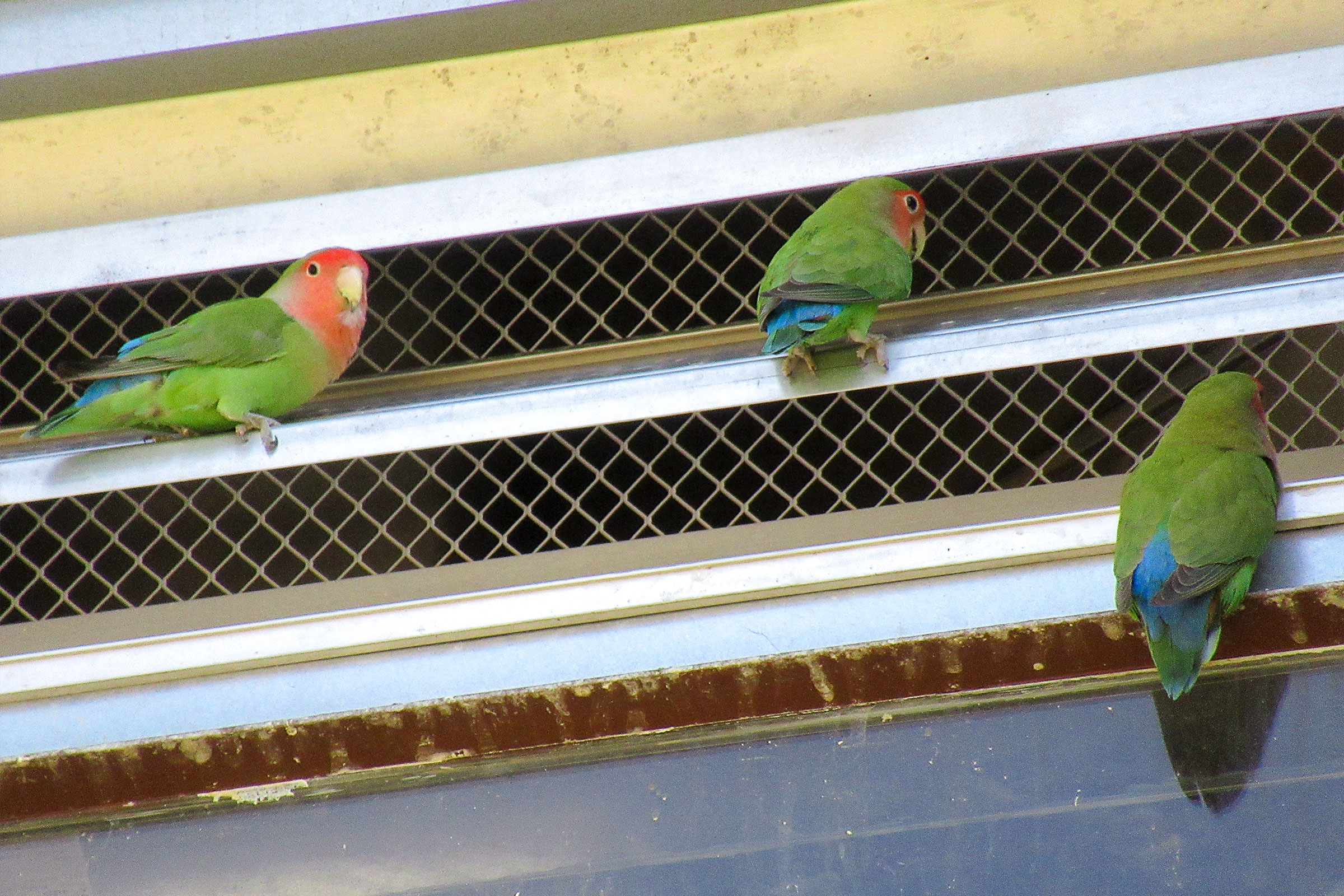 Rosy-faced Lovebirds perched near a building's air conditioning vent in Phoenix, Arizona. The birds only showed up when temperatures passed 90 degrees, and their number increased exponentially above 99 degrees. Kevin McGraw