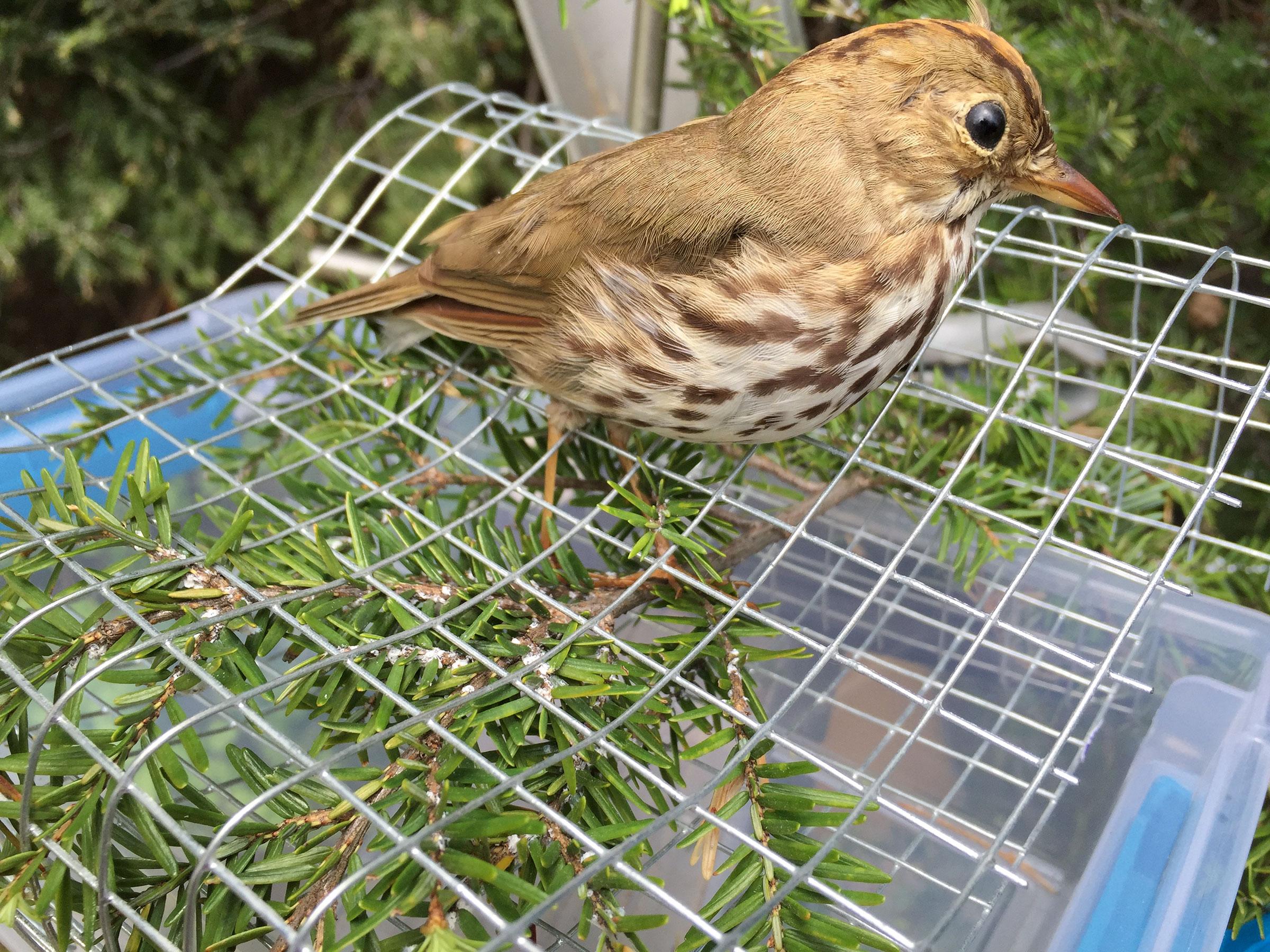 A taxidermied decoy Ovenbird on an adelgid-filled hemlock branch. Morgan Tingley