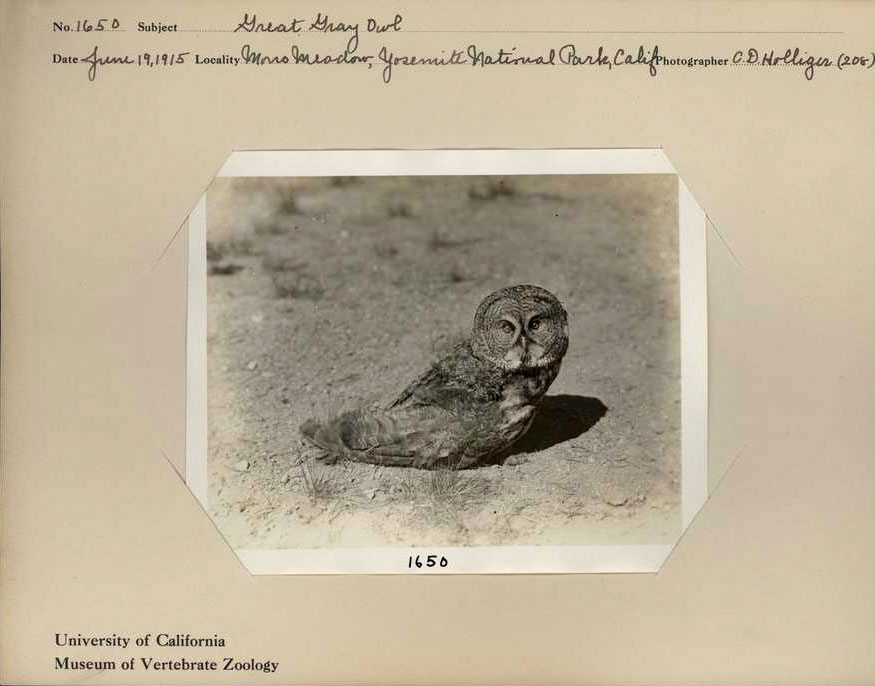Grinnell collected this female owl, MVZ:Bird:25535, during a 1915 survey of Yosemite National Park. C.D. Holliger Photo, Museum of Vertebrate Zoology Archives, University of California, Berkeley