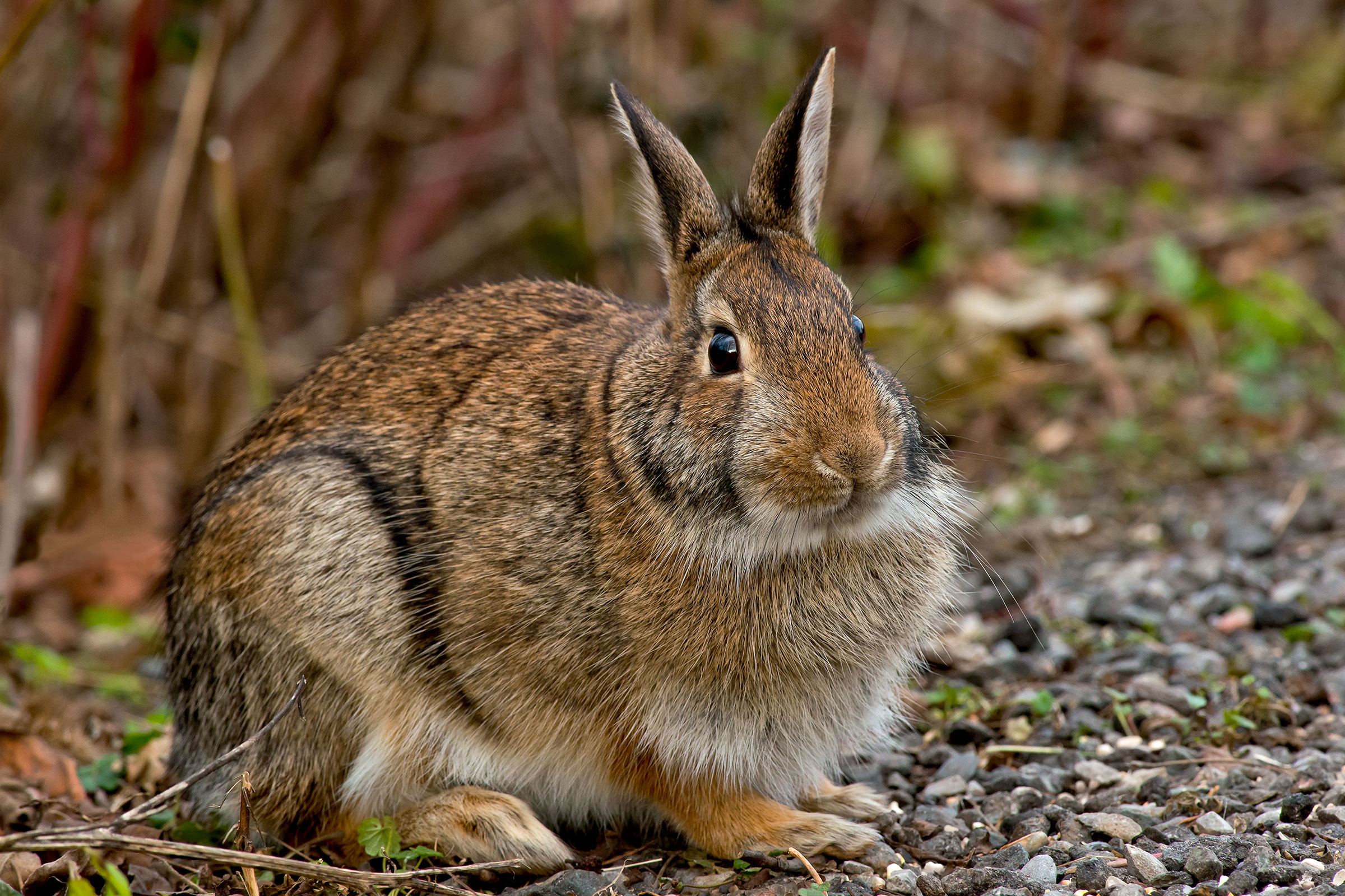 Eastern Cottontail. Paul Reeves Photography/iStock