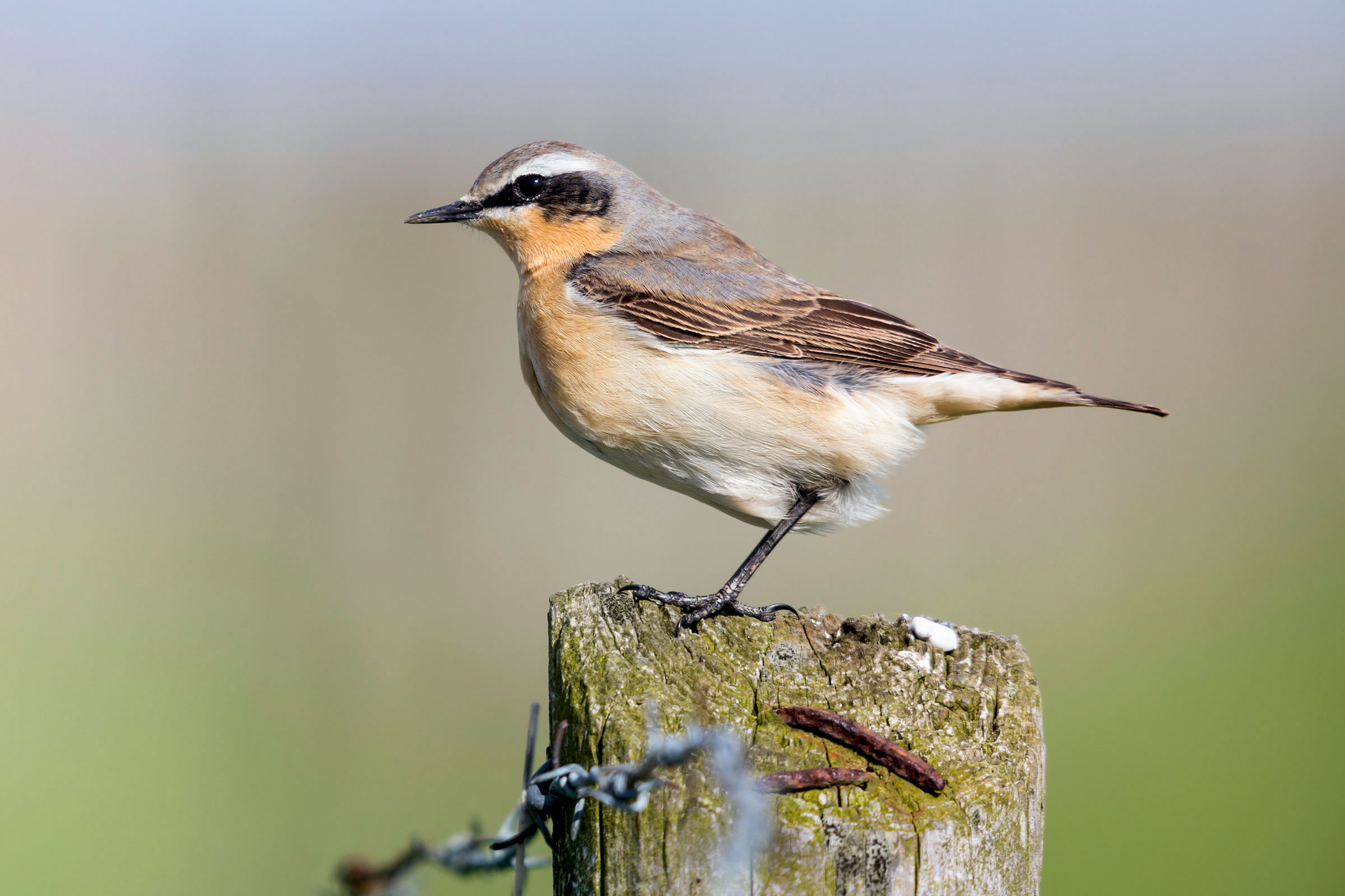 Northern Wheatear. Alby DeTweede/iStock