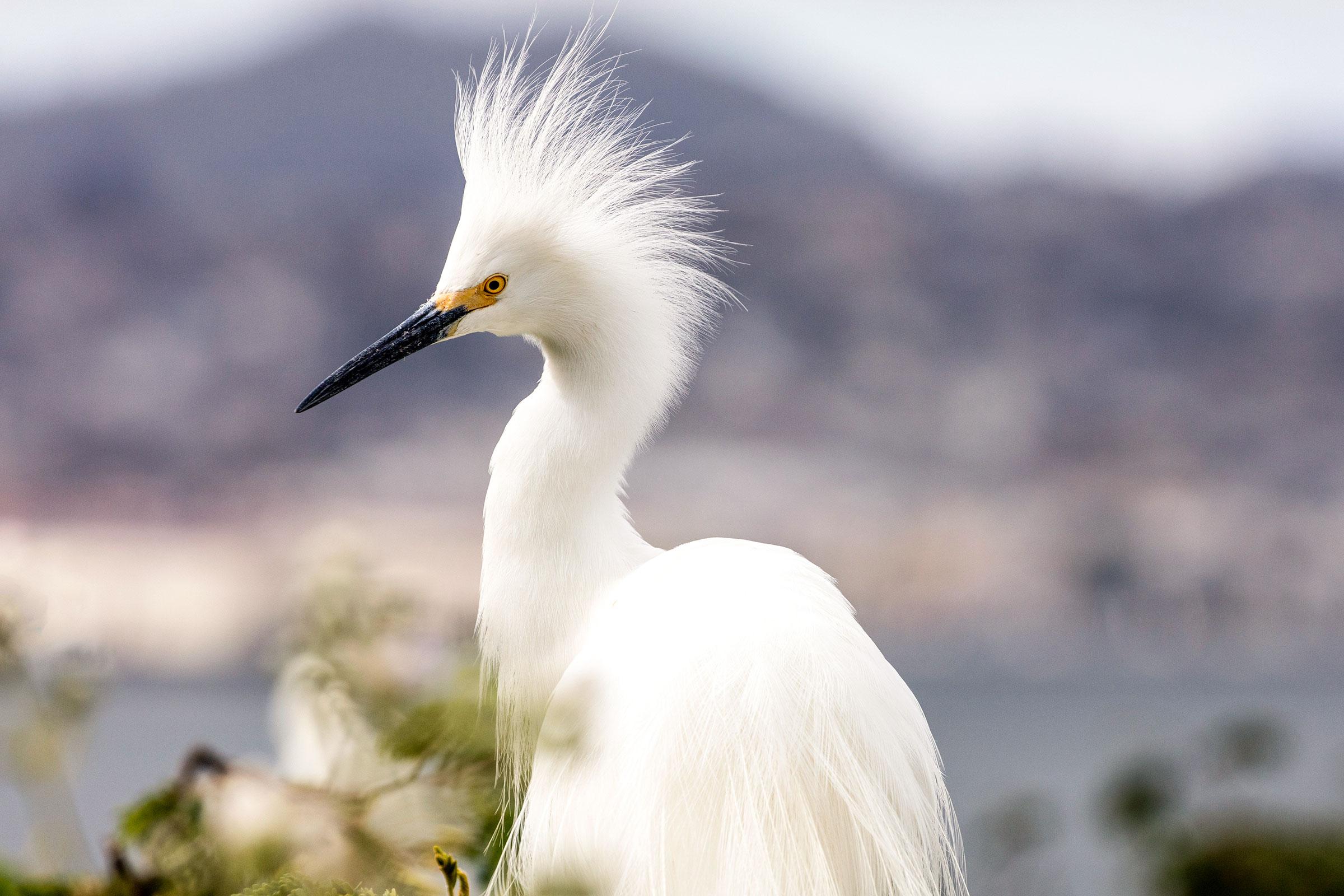 Snowy Egret. Danita Delimont/Alamy