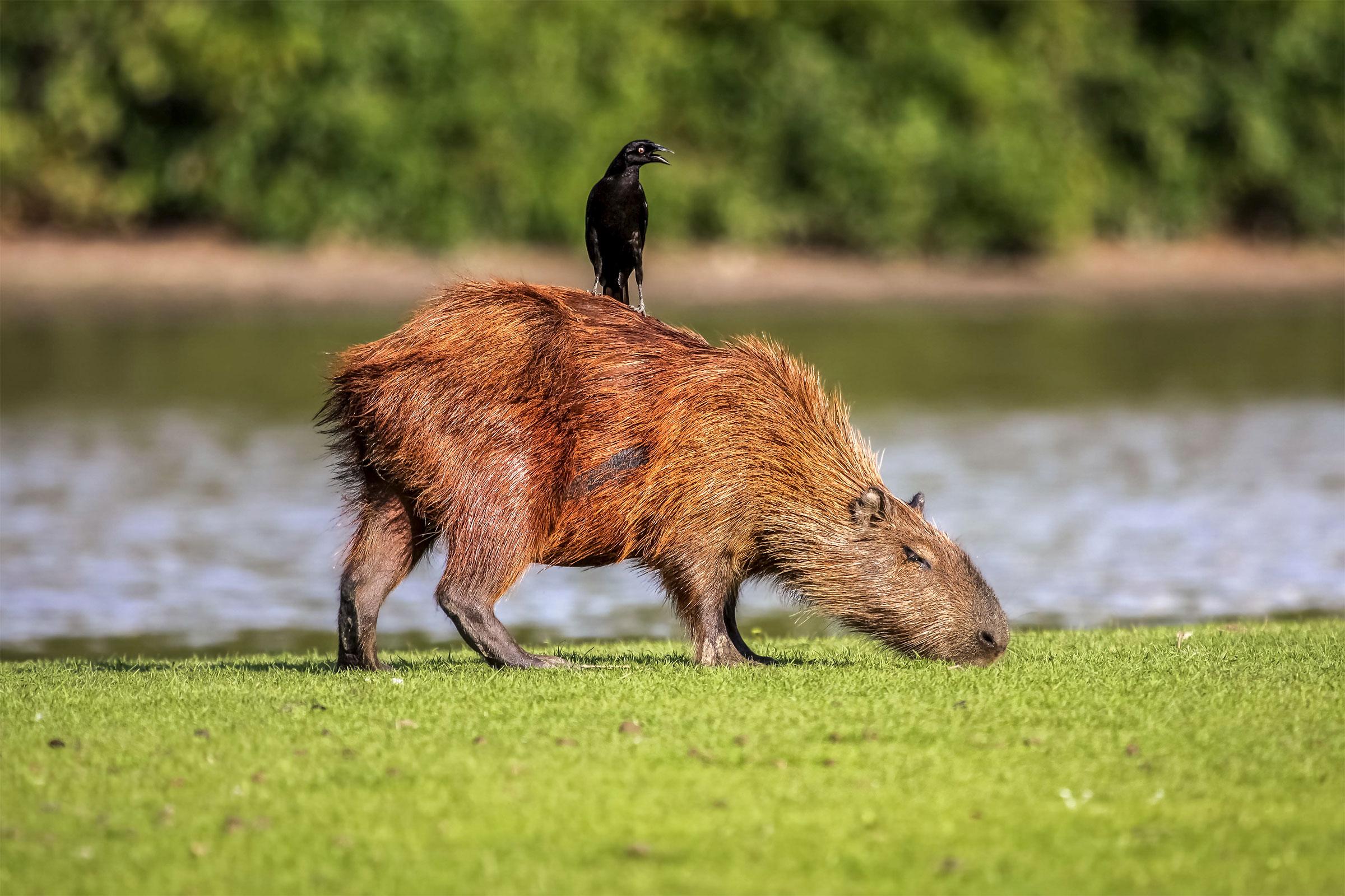 Giant Cowbird and Capybara.Photo:Uwe Bergwitz/Alamy