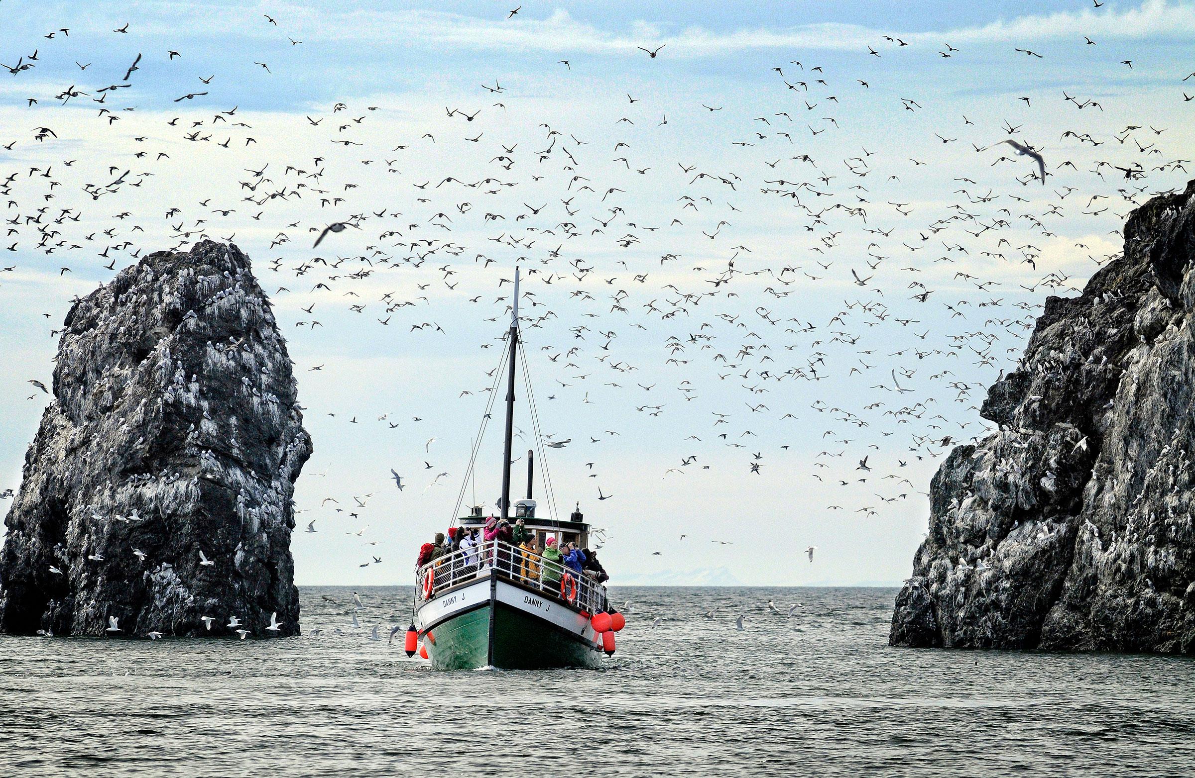 At Alaska's Kachemak Bay Shorebird Festival, experience the hustle and bustle of seabird colonies up close. Jim Lavrakas/Far North Photography