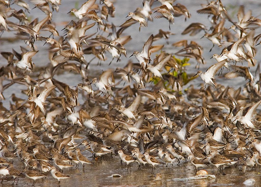 A flock of Western Sandpipers. Karl Kaufman/Panama Audubon Society