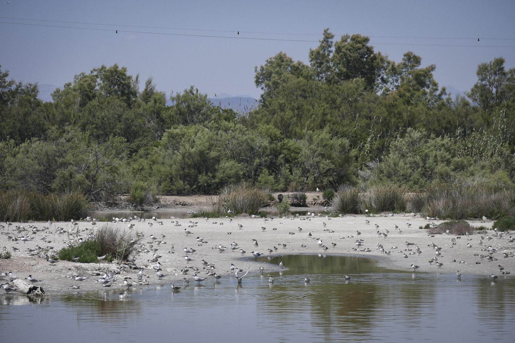 Reclaimed wetlands at El Raco de l'Olla host thousands of nesting waterbirds. Noah Strycker