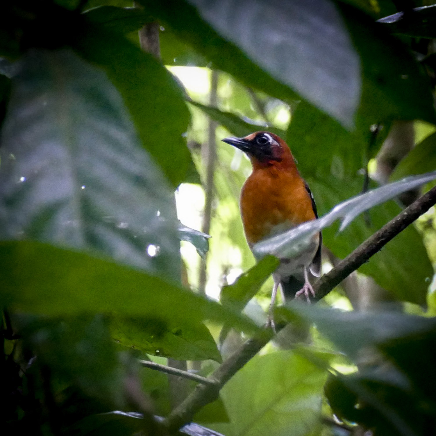 Noah's view of a Crossley's Ground-Thrush on Mount Kupe. Noah Strycker