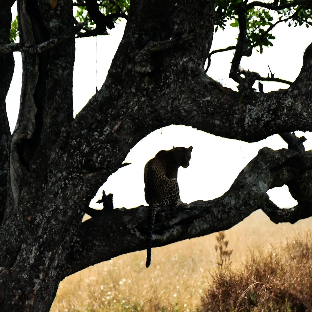 A leopard relaxes up a tree in Serengeti National Park.