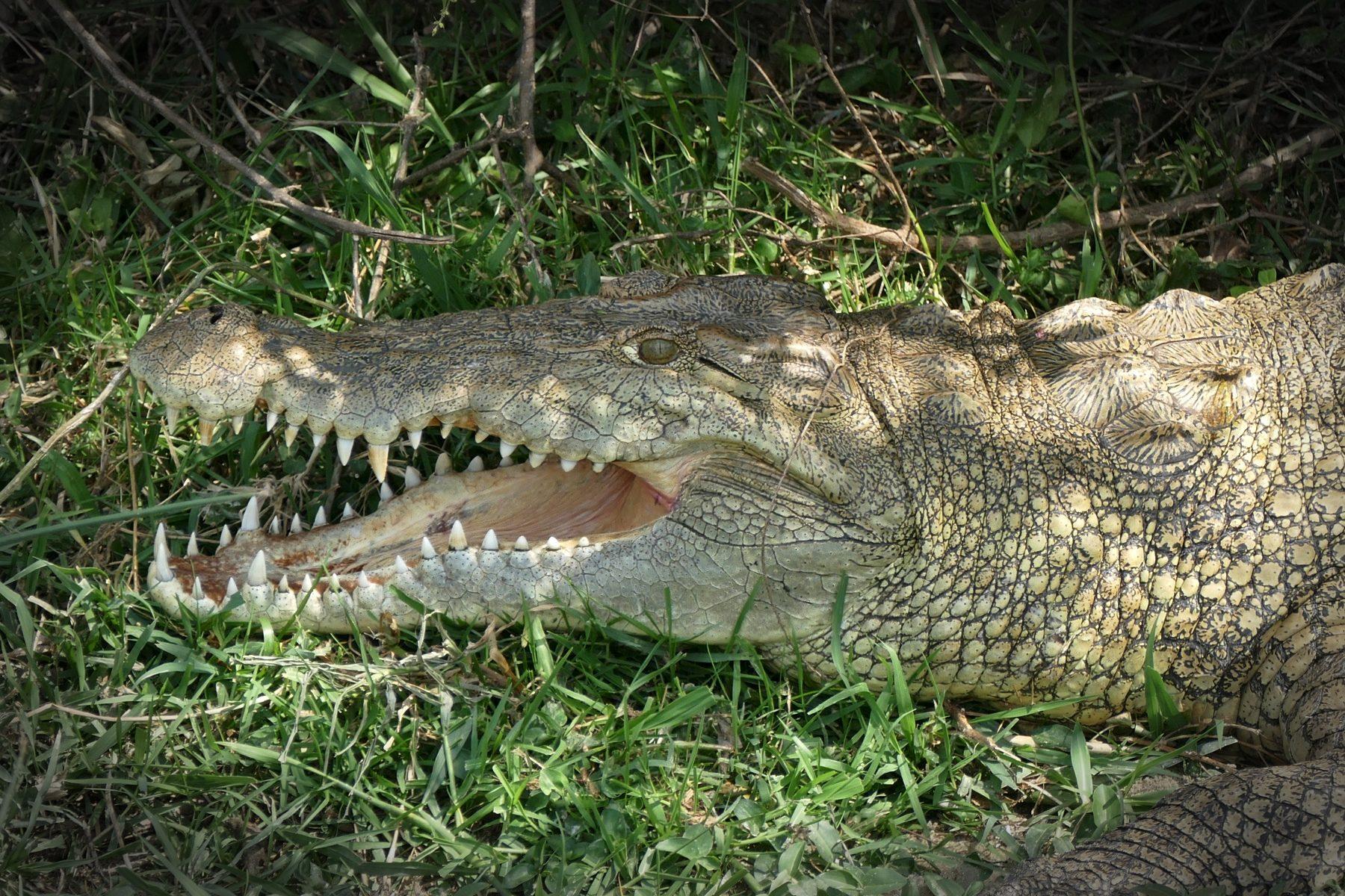 A Nile Crocodile at Queen Elizabeth National Park. Noah Strycker