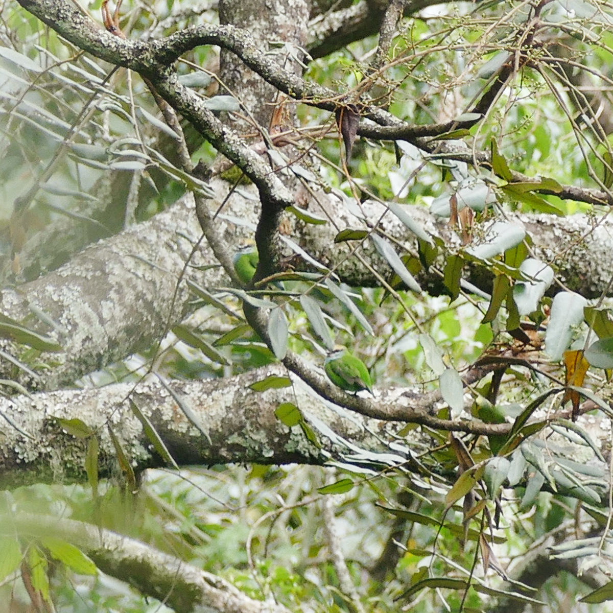 There are two Grauer's Broadbills in this photo - but they blend in amazingly well! Extra credit if you can spot one; consider yourself a professional if you can spot both. Noah Strycker