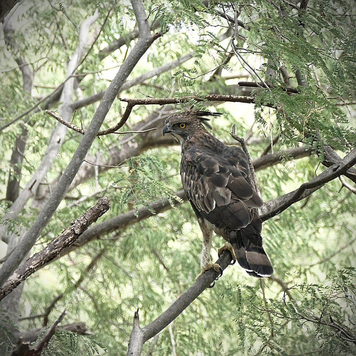 A Crested Hawk-Eagle near Val Parai. Noah Strycker