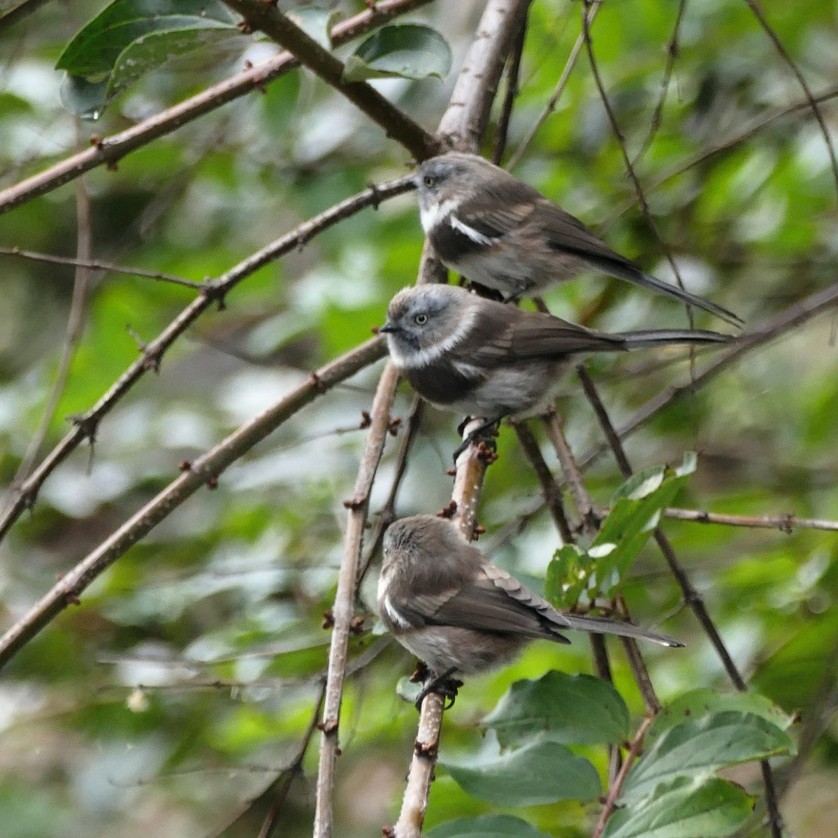 Three Sooty Tits line up on a branch. Noah Strycker