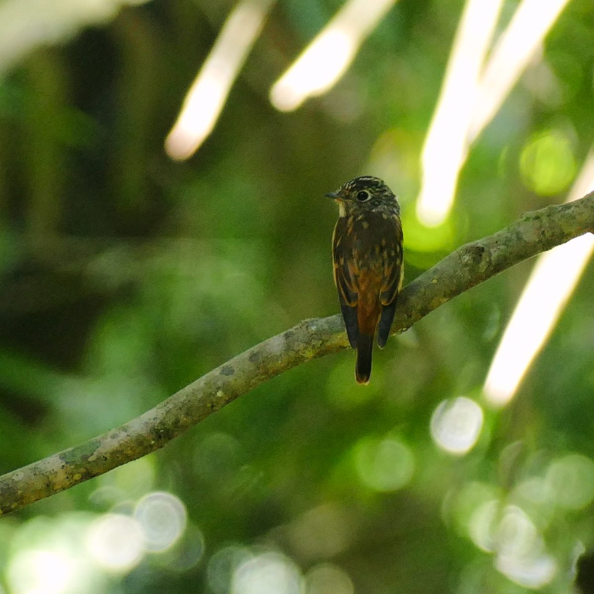 A Ferruginous Flycatcher perches in the forest on Mount Makiling. Noah Strycker