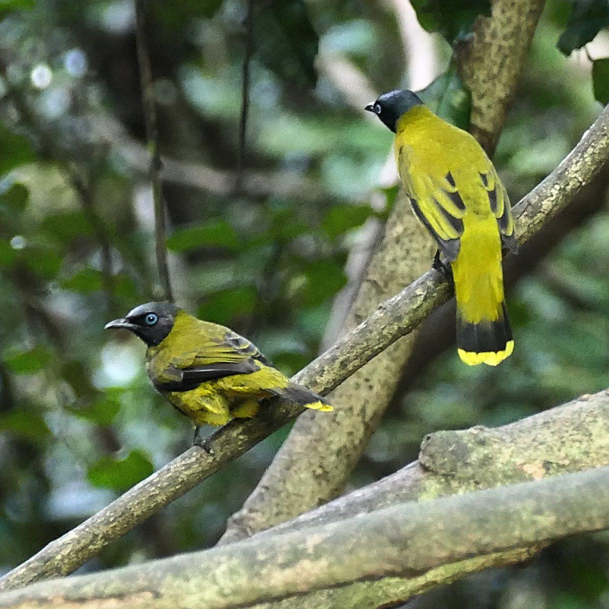 A pair of Black-headed Bulbuls perches near the Kaeng Krachan forest. Noah Strycker