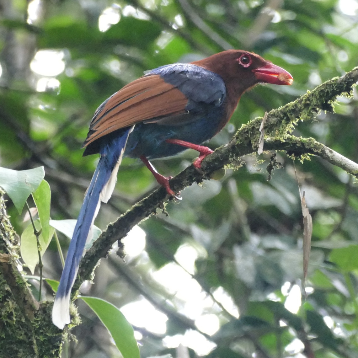 The Sri Lanka Blue-Magpie is one of the country's most colorful endemics. Noah Strycker