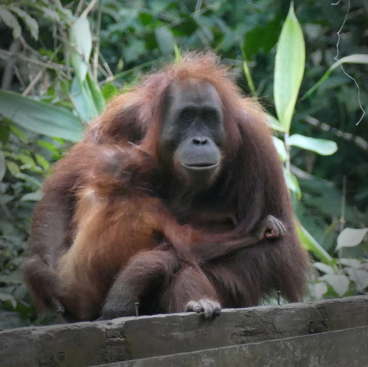A mother and baby orangutan at the Sepilok Orangutan Rehabilitation Center. Noah Strycker