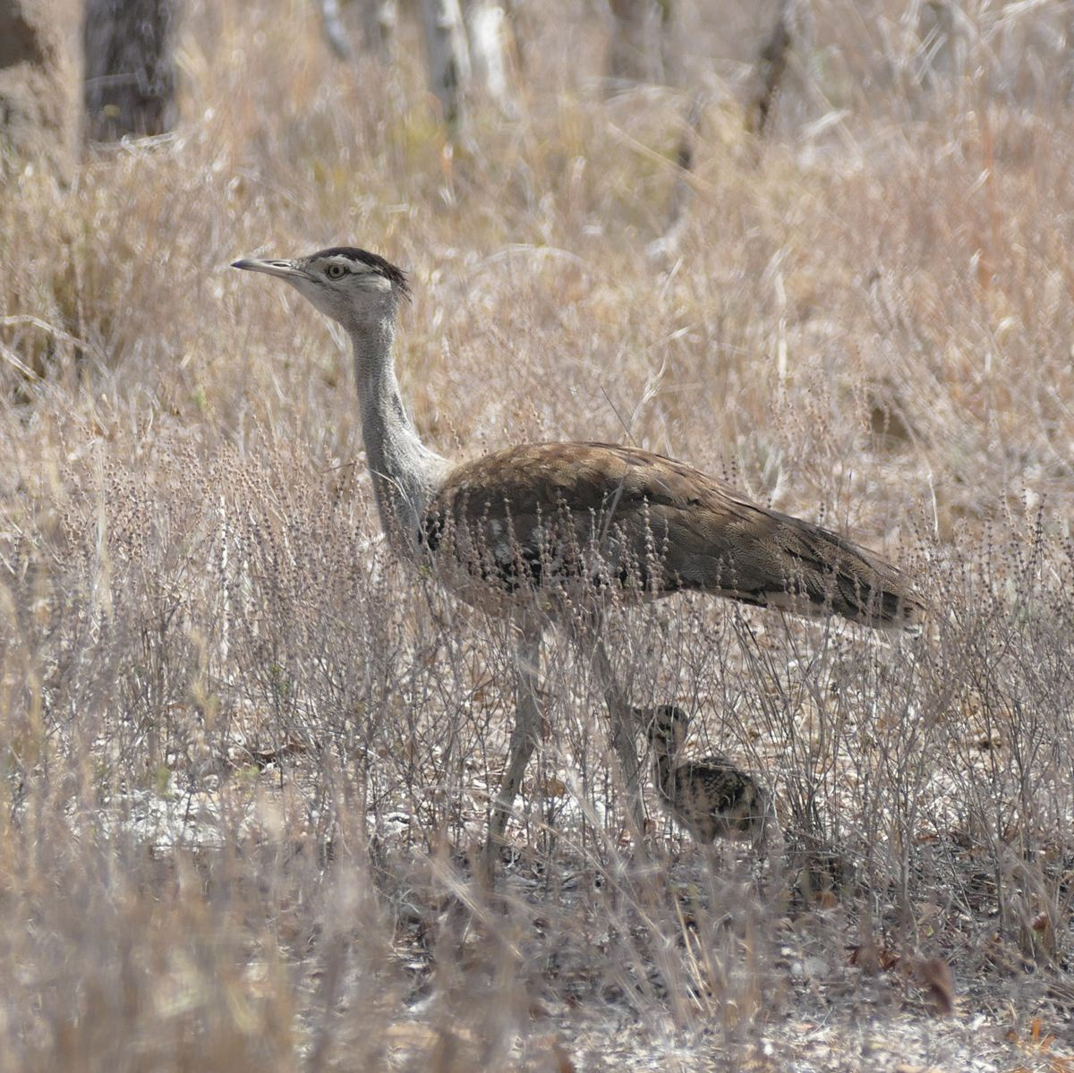 An Australian Bustard chick sticks to the shade of its parent. Noah Strycker