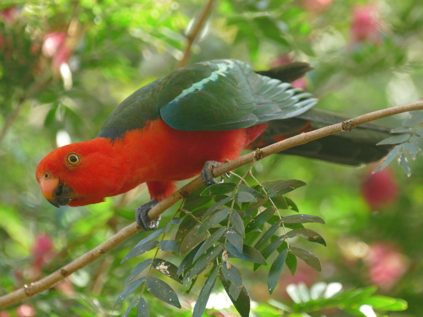 An Australian King-Parrot arrives for breakfast. Noah Strycker