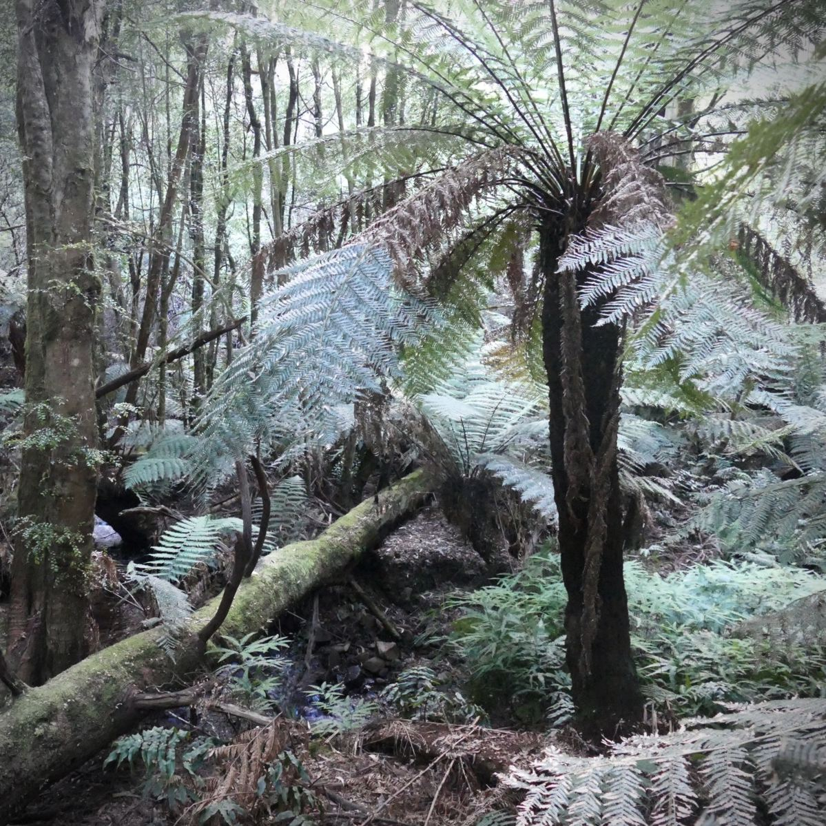 Gullies in Toolangi State Forest are lush with tree ferns. Noah Strycker