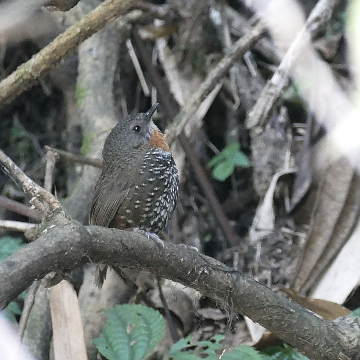 A Rusty-throated (Mishmi) Wren-Babbler pauses while skulking through the undergrowth. Noah Strycker
