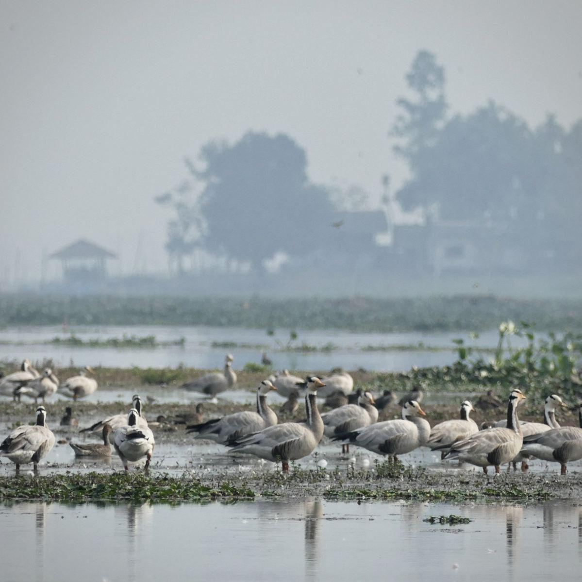 Bar-headed Geese congregate at Maguri Bill. Noah Strycker