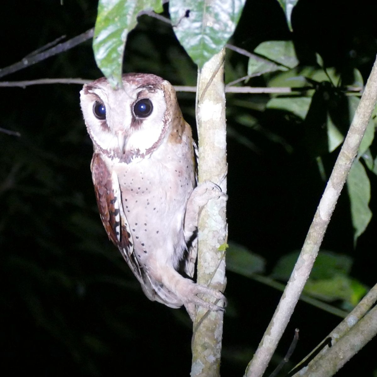 Perhaps the first-ever photograph of a wild Oriental Bay-Owl in India. Noah Strycker