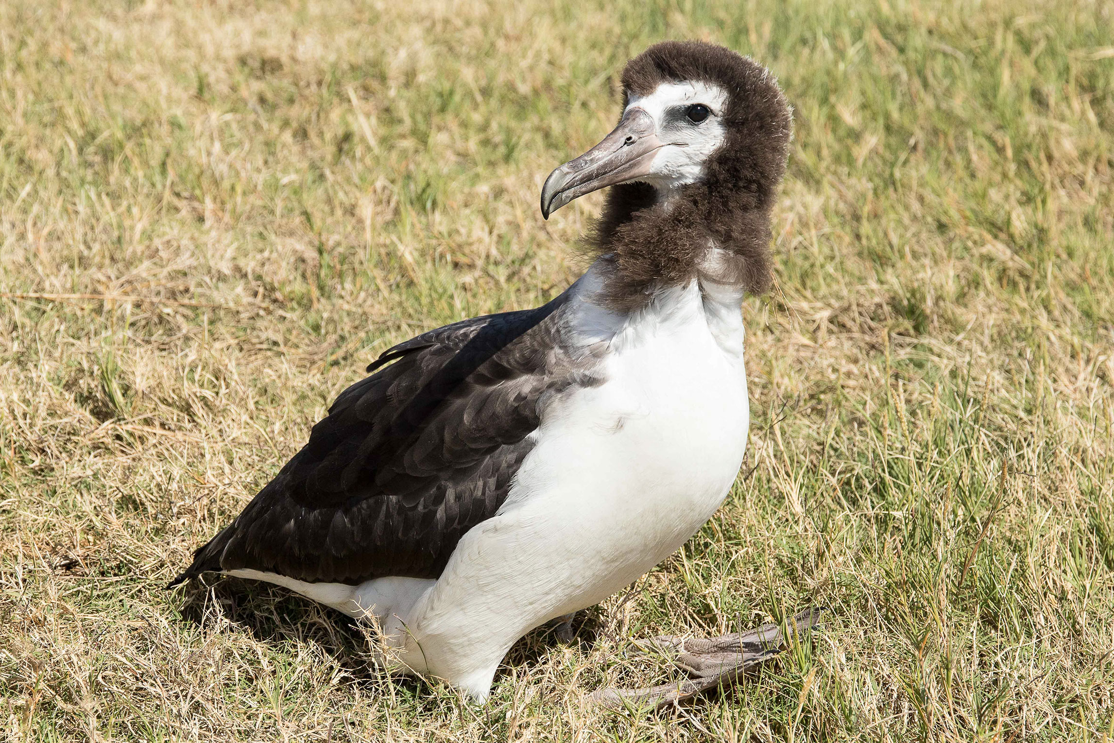 """Laysan Albatross give """"awkward teenage years"""" a whole new meaning. Here, Nine parades her latest hairdo, created by inconsistent molting of her gray downy feathers. Eric VanderWerf"""