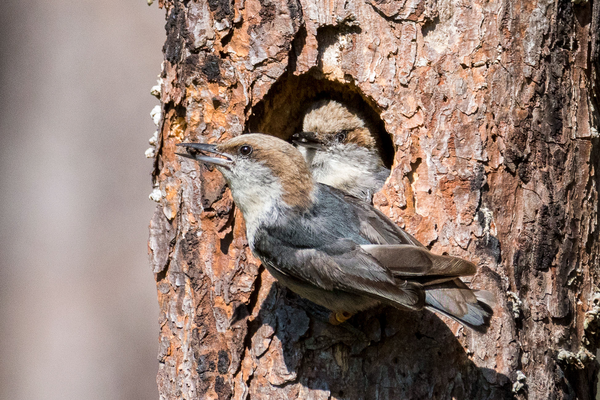 Brown-headed Nuthatches pair up to carve out cavities in pines and woody structures. This shared responsibility makes finding a mate—or host family—all the more important. Brian Lloyd