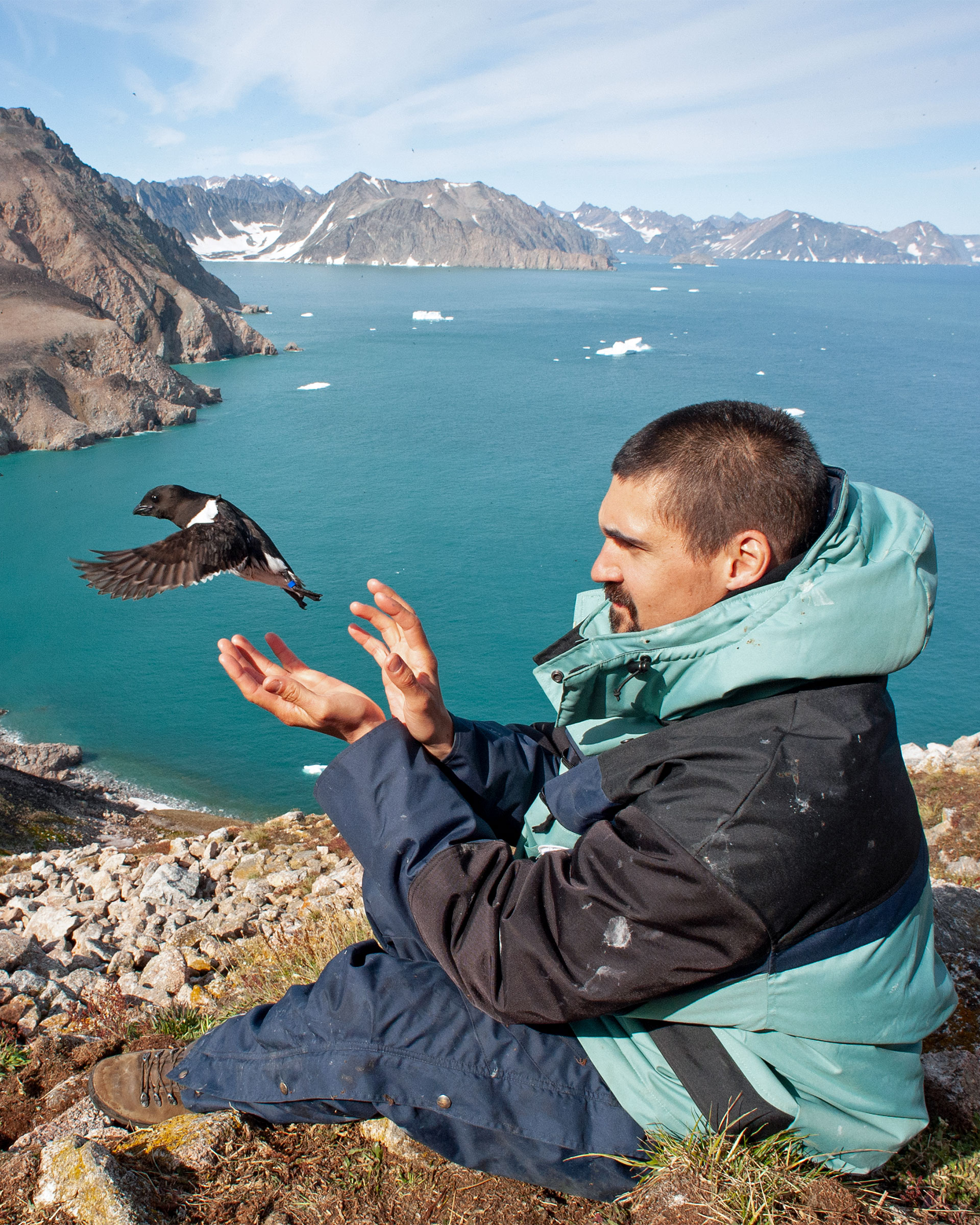 A man sitting on a cliff and wearing a green and black parka releases a Dovekie with open hands. The Dovekie, a seabird, is the length of the man's hand and is mostly black with small white patches on the shoulder and tail. There is a tiny, bright blue band visible on its left leg.