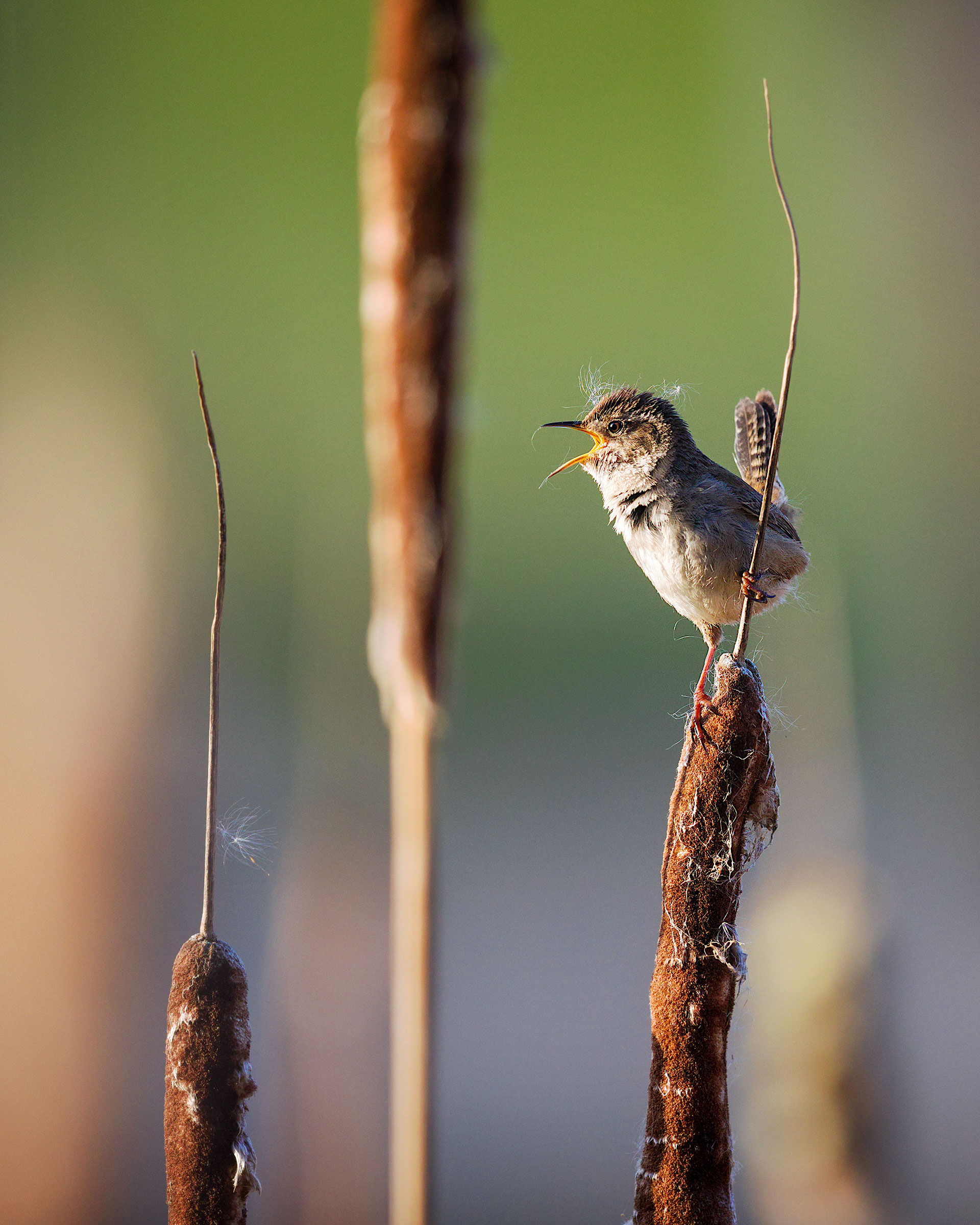 Marsh Wren. Lisa Sproat, King County, WA