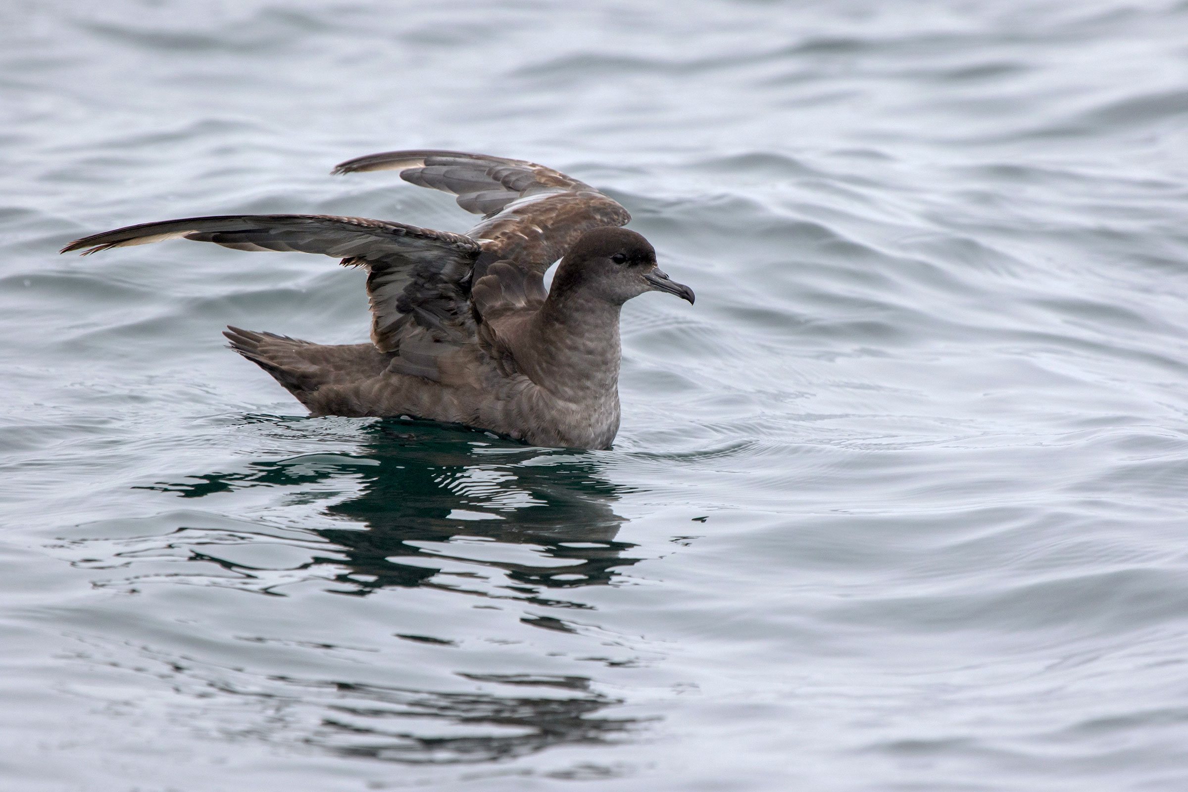 Short-tailed Shearwater in the Bering Sea. Photo: Dmytro Pylypenko/Alamy