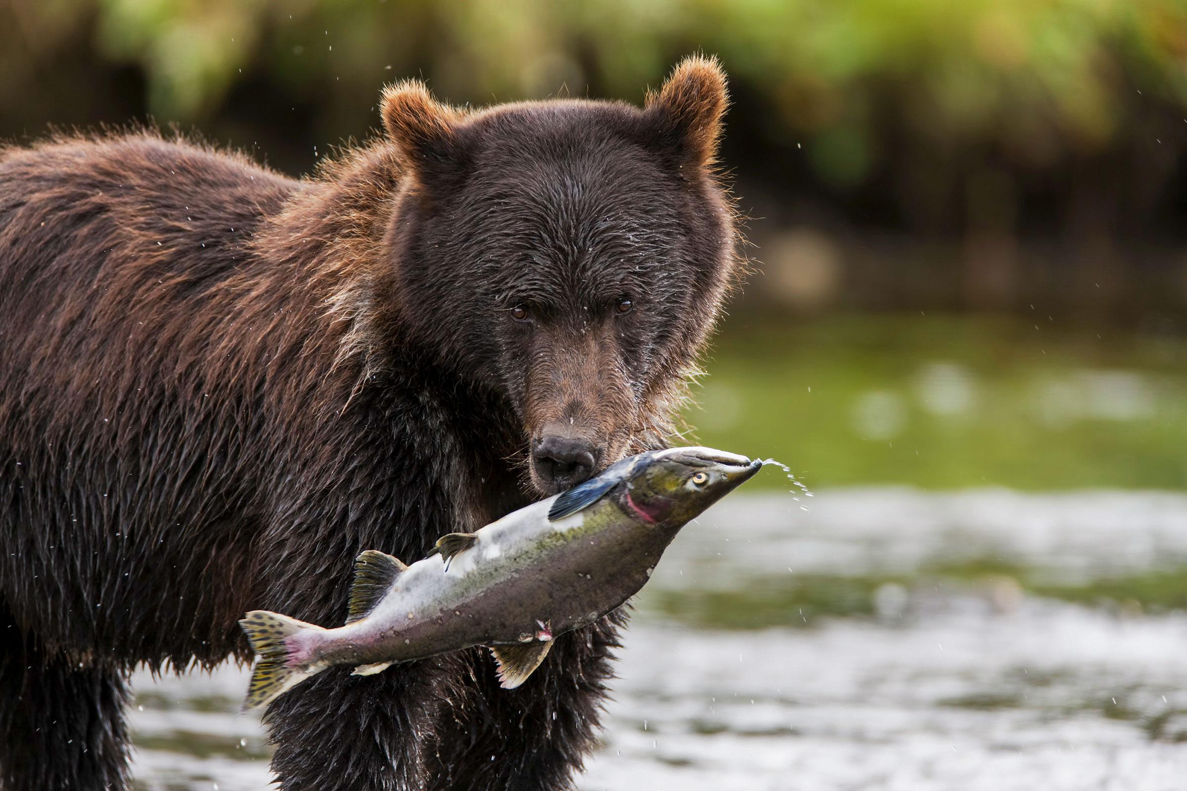 Admiralty Island brown bear. Ray Bulson/Alamy