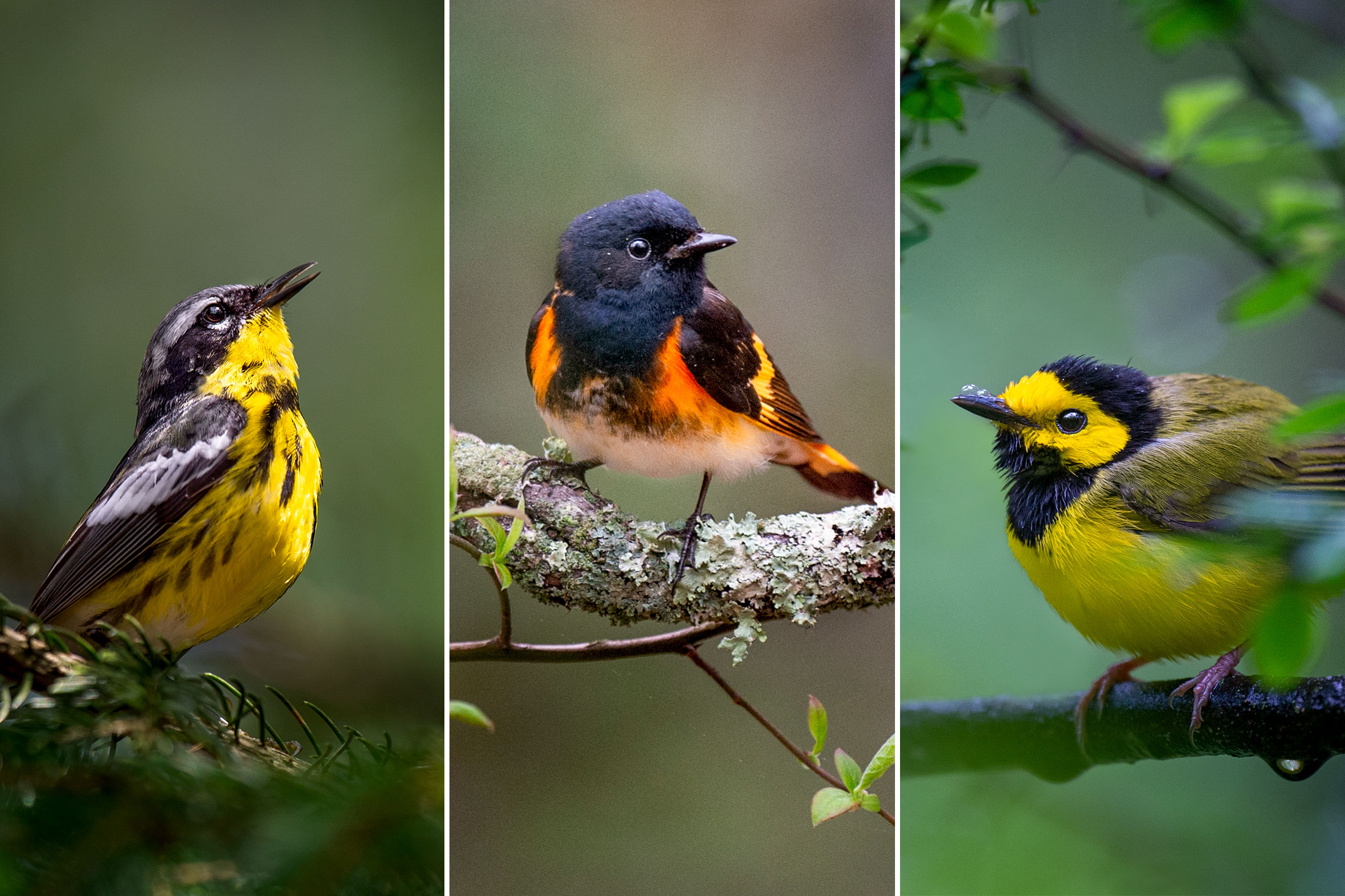 From left: Magnolia Warbler; American Redstart; Hooded Warbler. Photos: Ray Hennessy/iStock