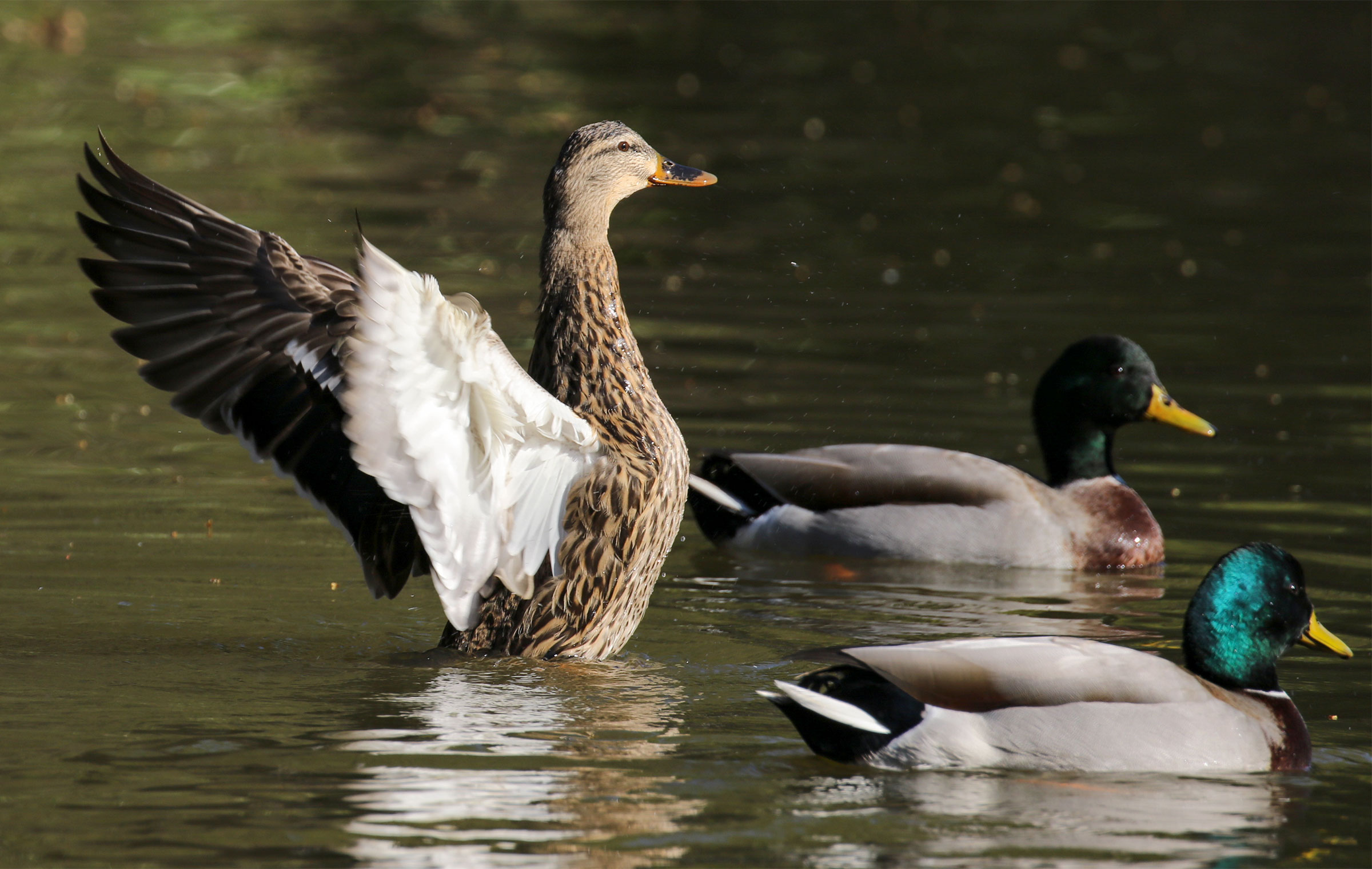 Mallards. Sujata Roy/Great Backyard Bird Count