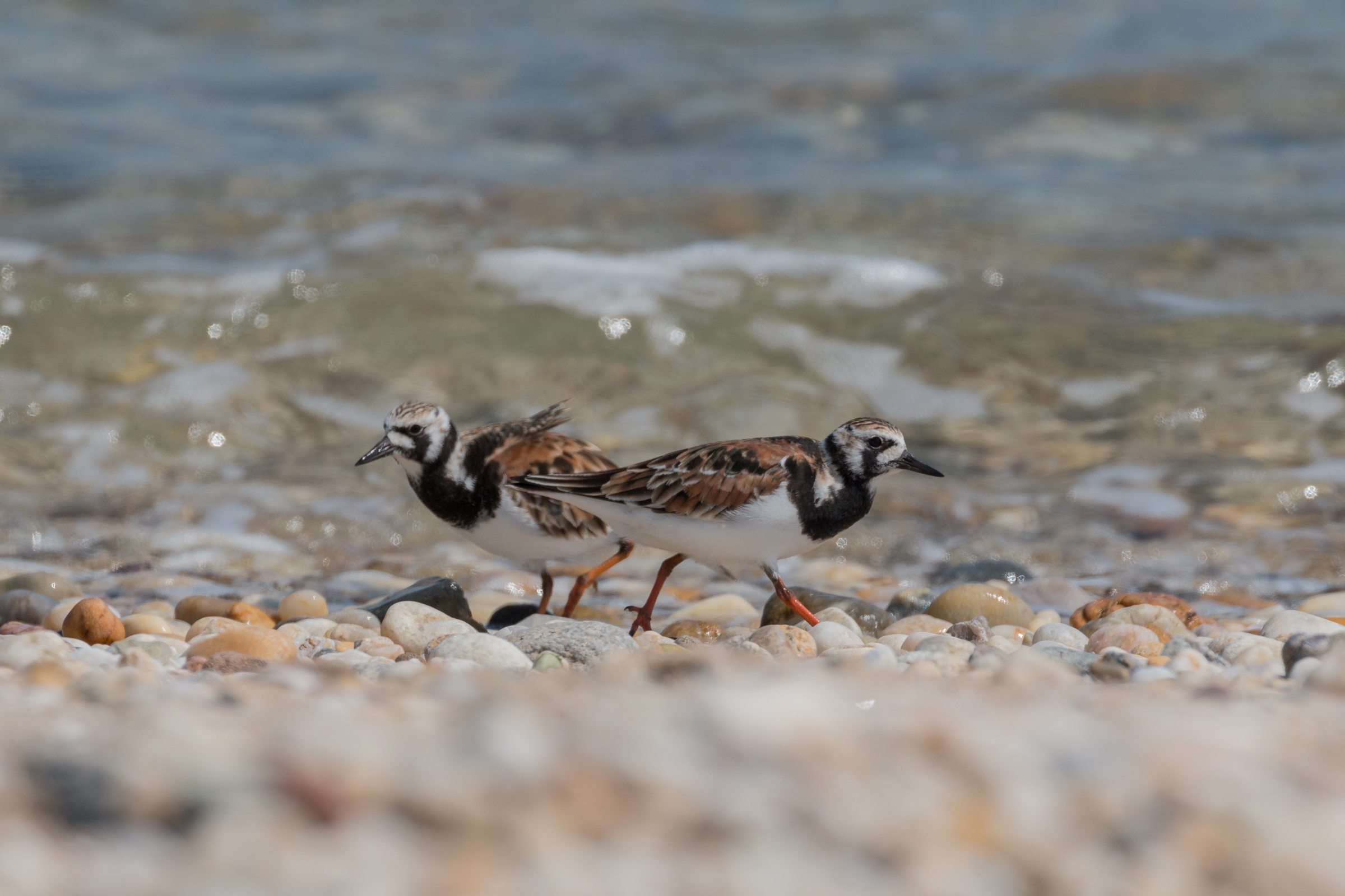 Two birds with mottled black, white, and rust-colored plumage stand on a rocky beach near water.
