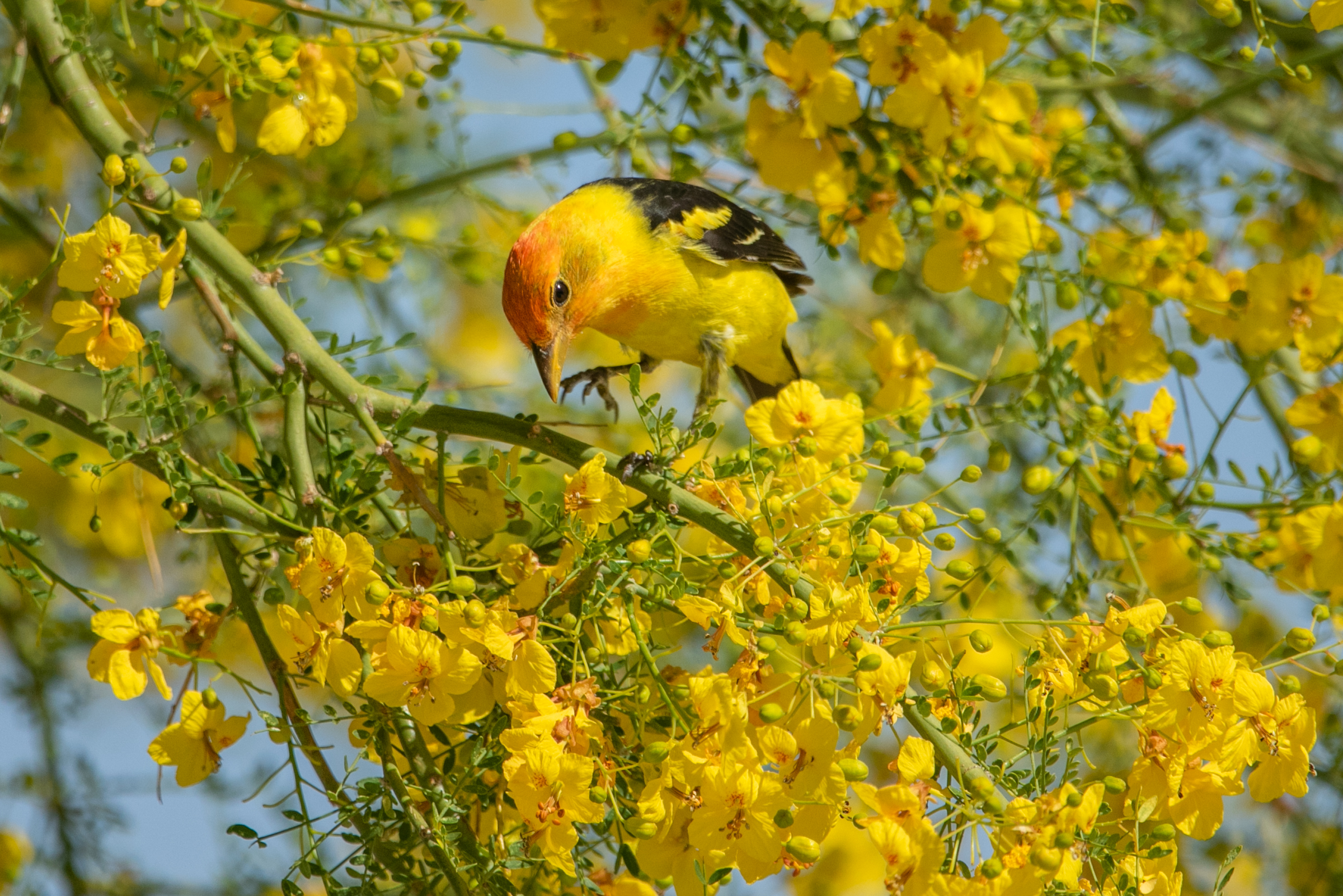 Western Tanager. Photo: Ann Kramer/Audubon Photography Awards