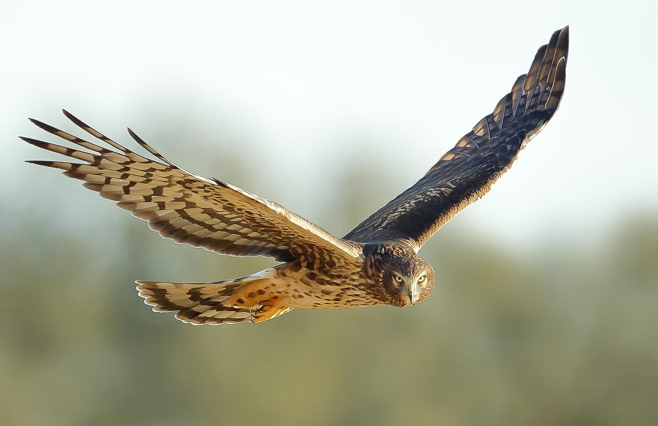 Northern Harrier. Melissa Groo