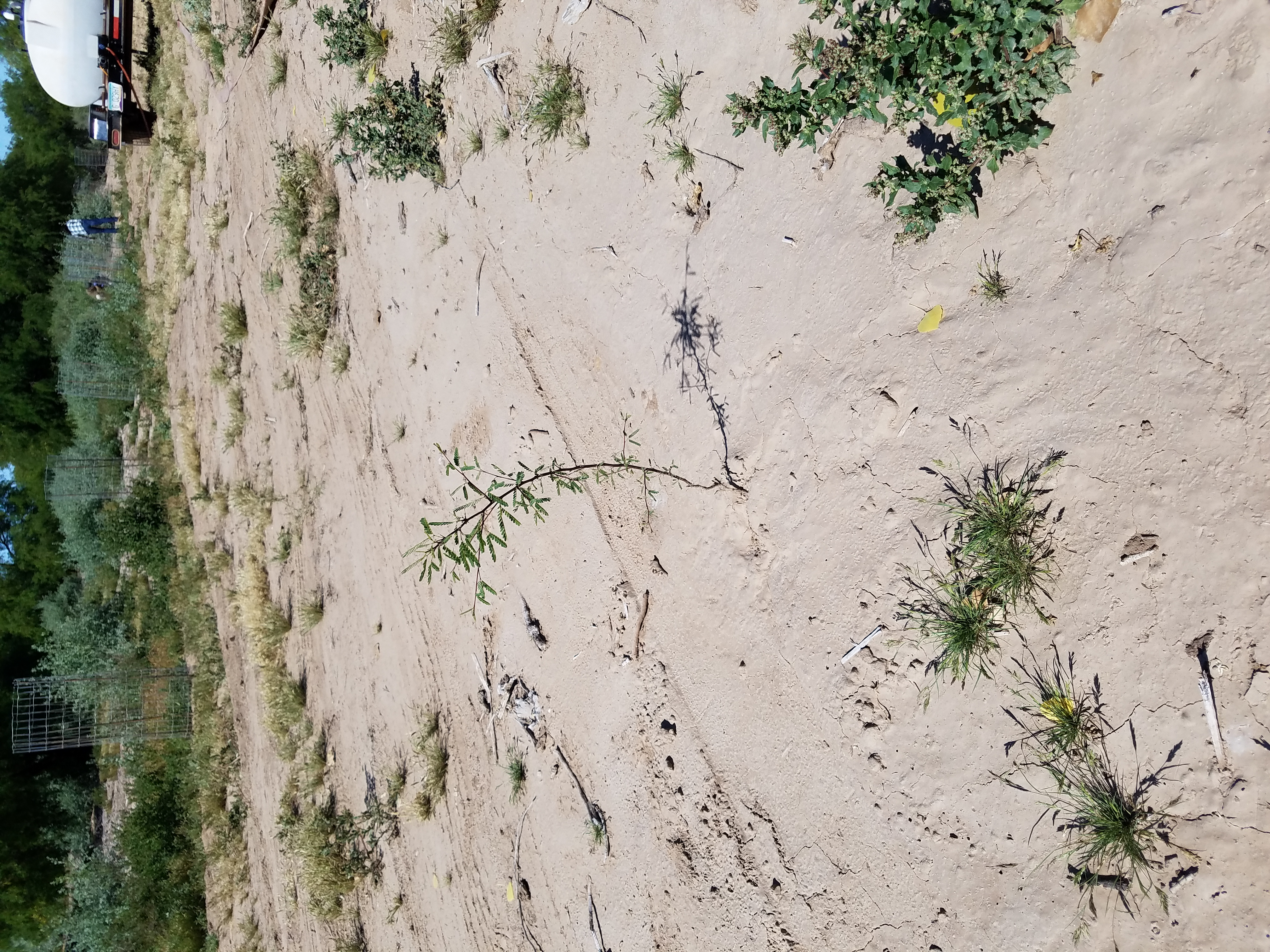 A young, spindly mesquire planting stands only two feet tall in parched Colorado River soil.  Behind the planting are older plantings protected with cages and behind those is healthy, dark green riparian habitat.