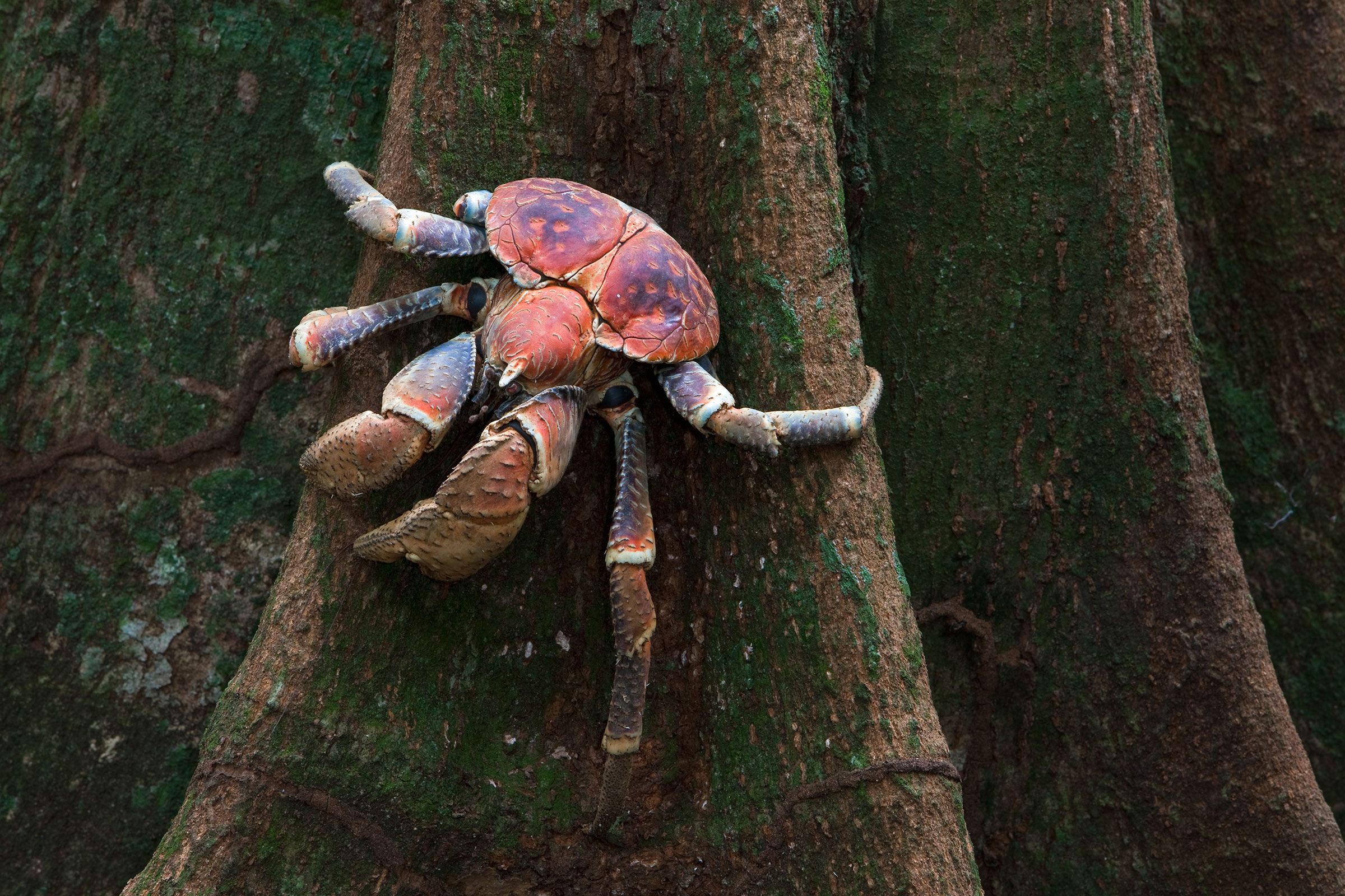 A coconut crab clings eerily to a tree trunk on Christmas Island in the Indian Ocean. Ingo Arndt/Minden Pictures
