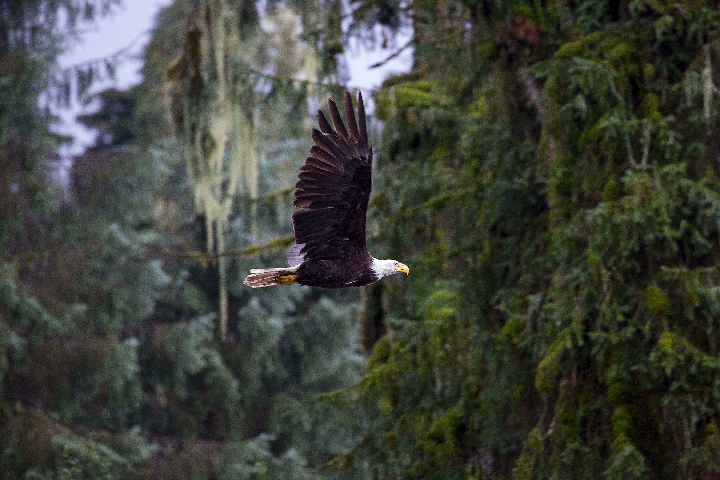 Bald Eagle, Tongass National Forest. Matthias Breiter/Minden Pictures