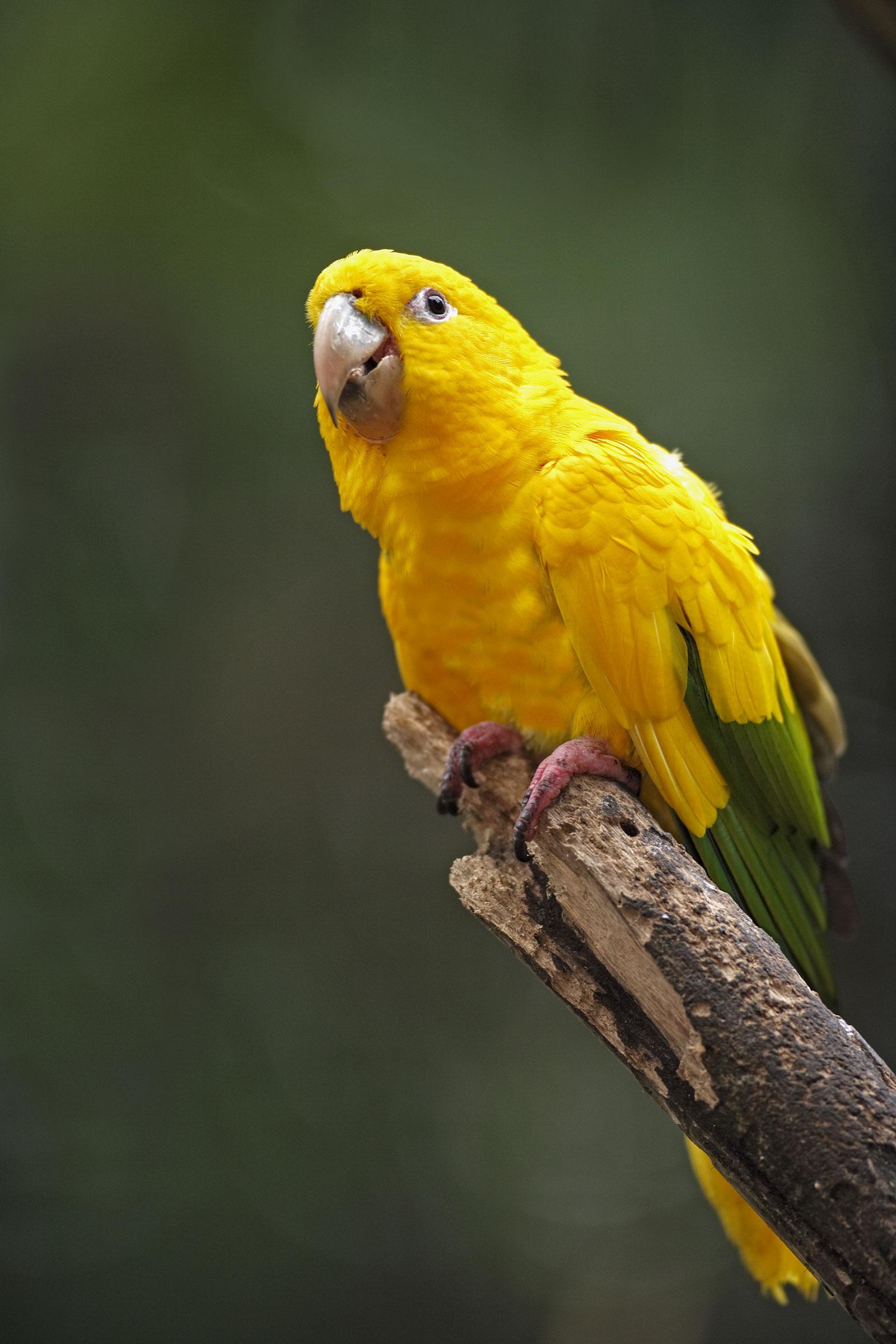 Golden Parakeet, found only in Brazil. Jurgen and Christine Sohns/Minden Pictures