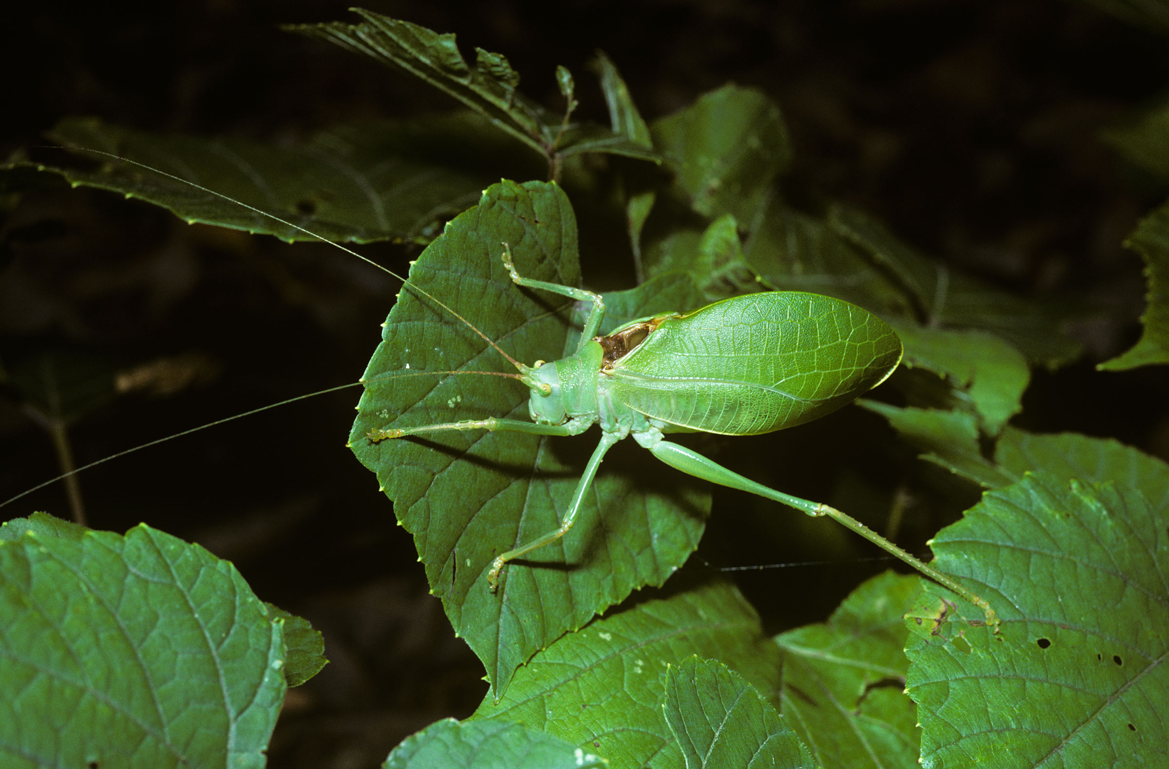 Common true katydids blend in well among the leaves, but their raspy songs aren't so subtle. Premaphotos/Minden Pictures